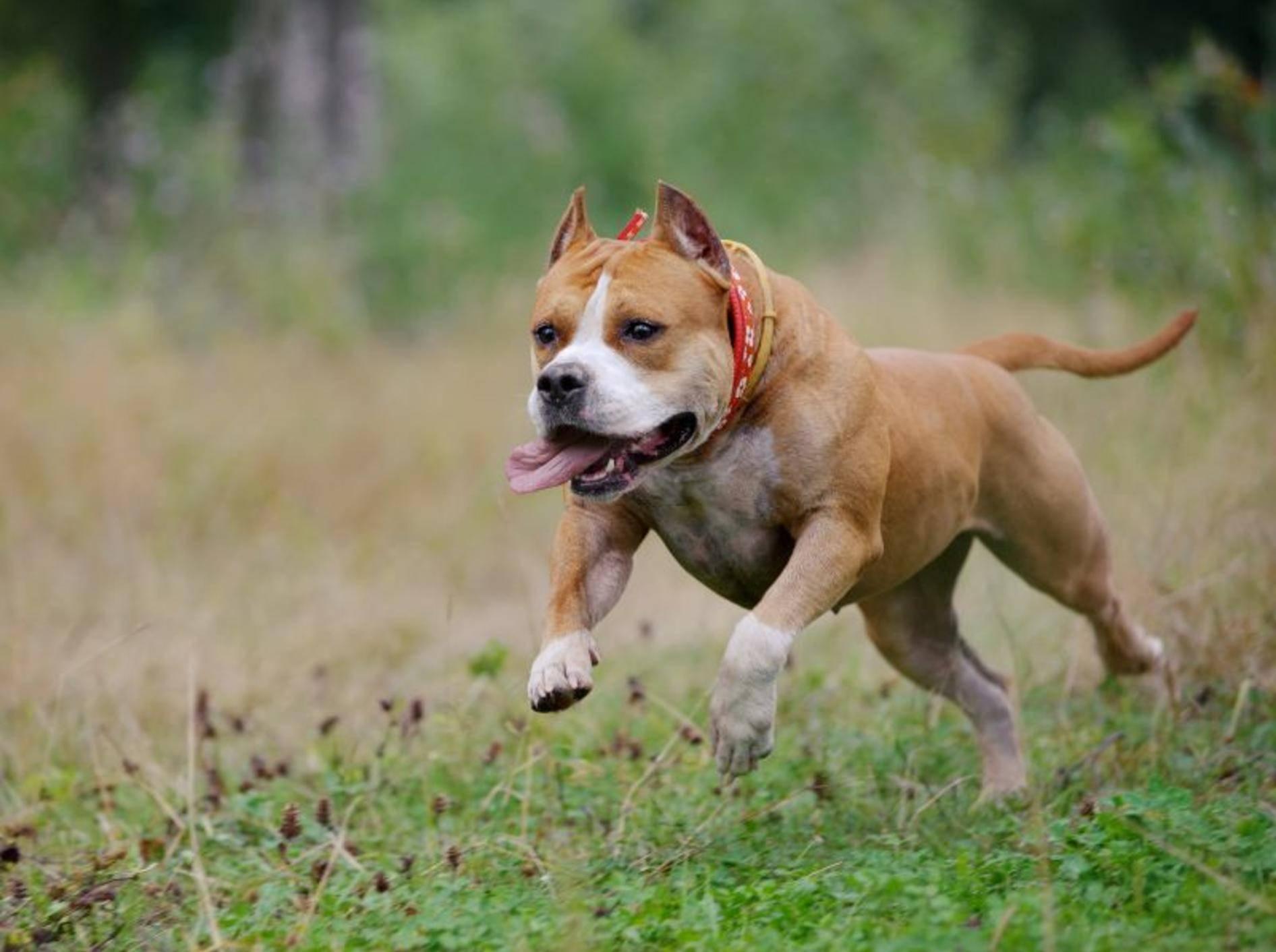 American Staffordshire Terrier Haltung