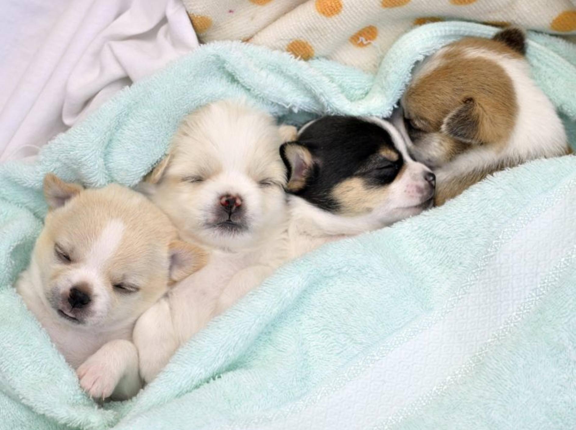 Wie süß: Eine kleine Chihuahua-Pyjama-Party – Bild: Shutterstock / Pimnana_01