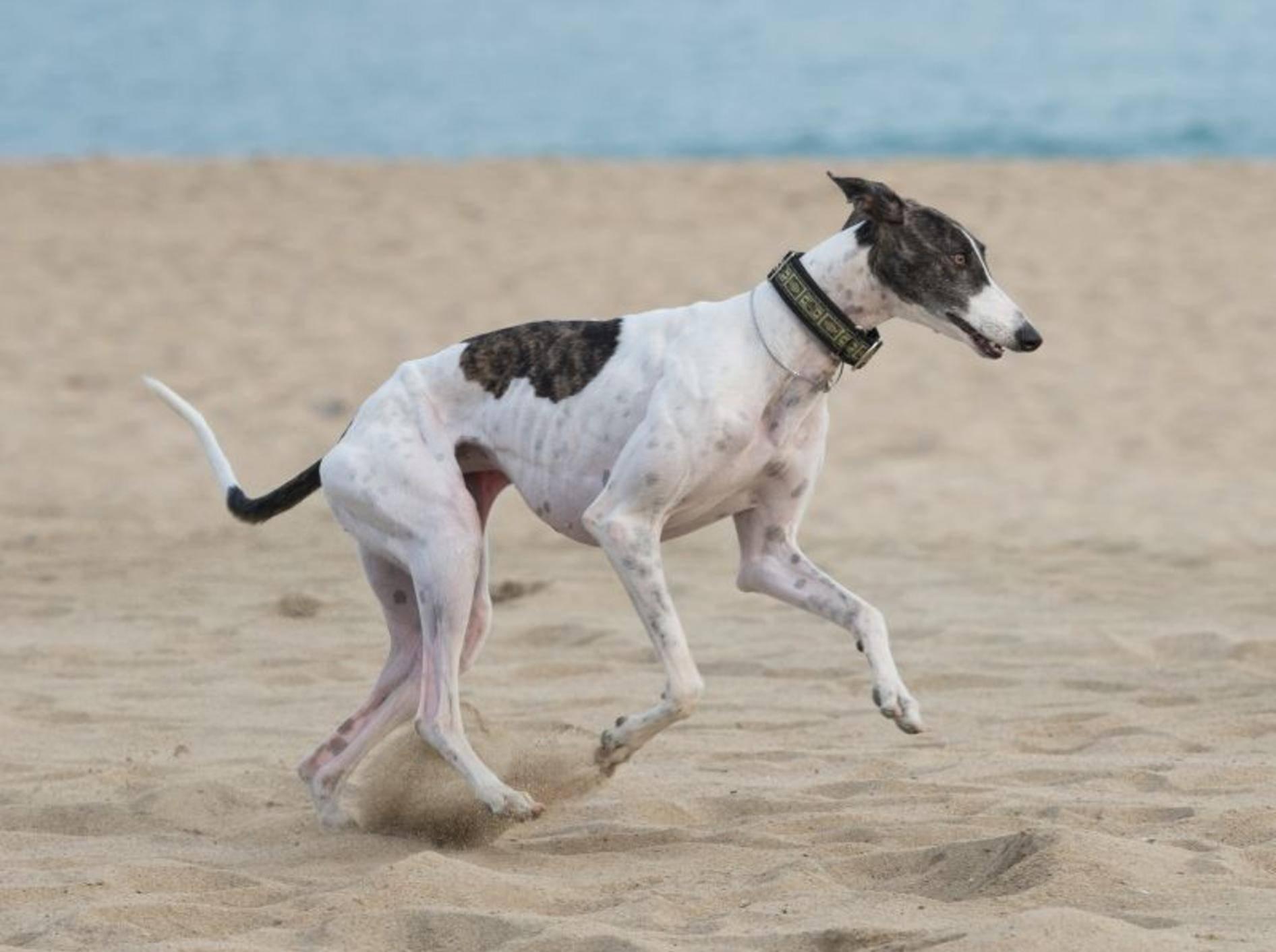 Ein Ausflug an den Strand macht dem Greyhound Spaß – Bild: Shutterstock / Tsik