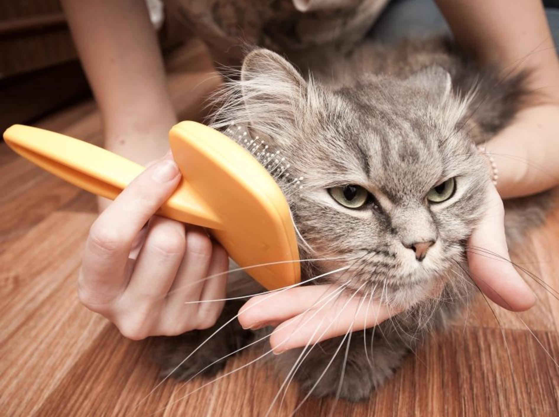 Kontrollieren Sie das Fell Ihrer Katze regelmäßig auf Parasiten wie Milben – Bild: Shutterstock / Telekhovskyi