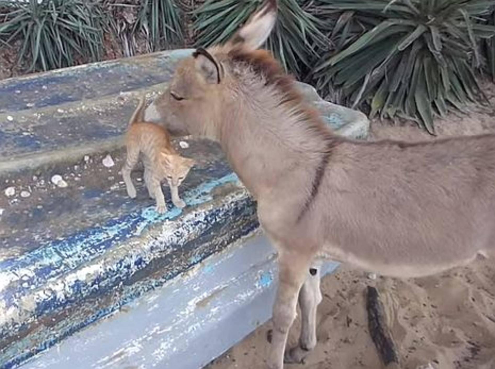 Kuschelalarm bei Esel und Katzenbaby – Bild: Youtube / Johnny Bomblast