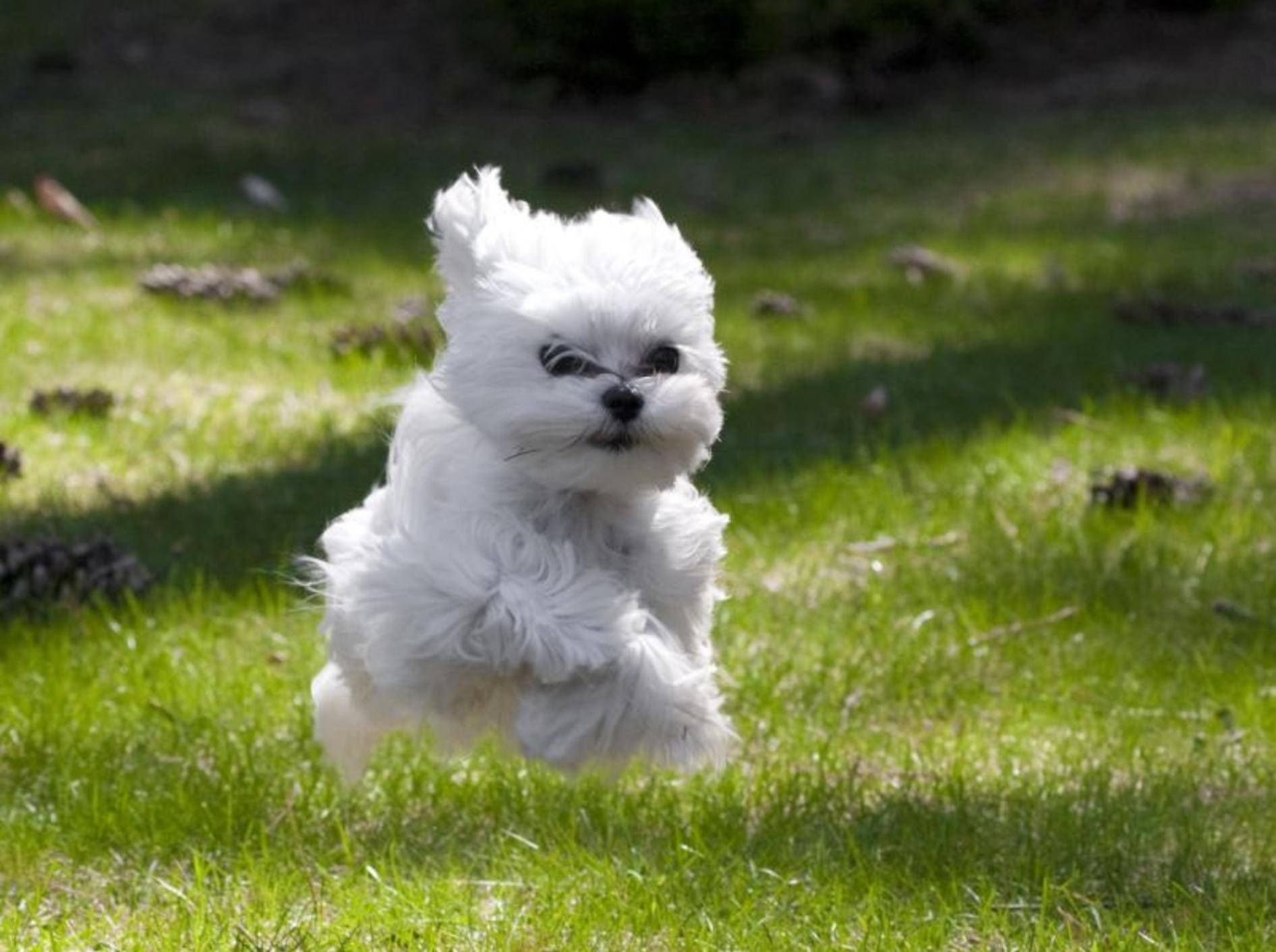 Dieser Malteser-Welpe findet: Rennen macht Spaß!!! – Bild: Shutterstock / MG photos