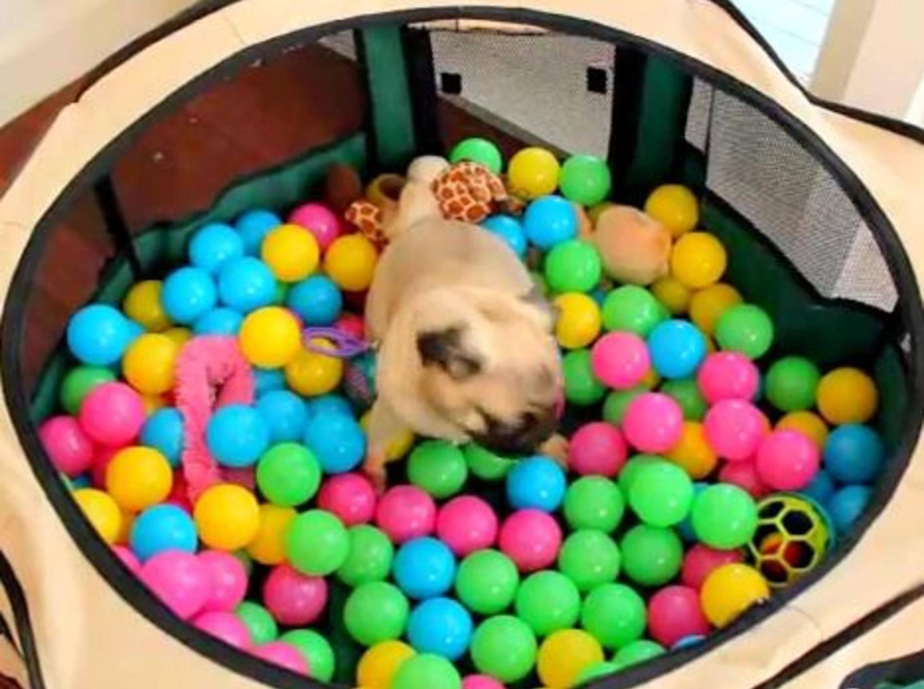 Mops spielt zum ersten Mal im Ballbecken – Bild: Youtube / xoxo