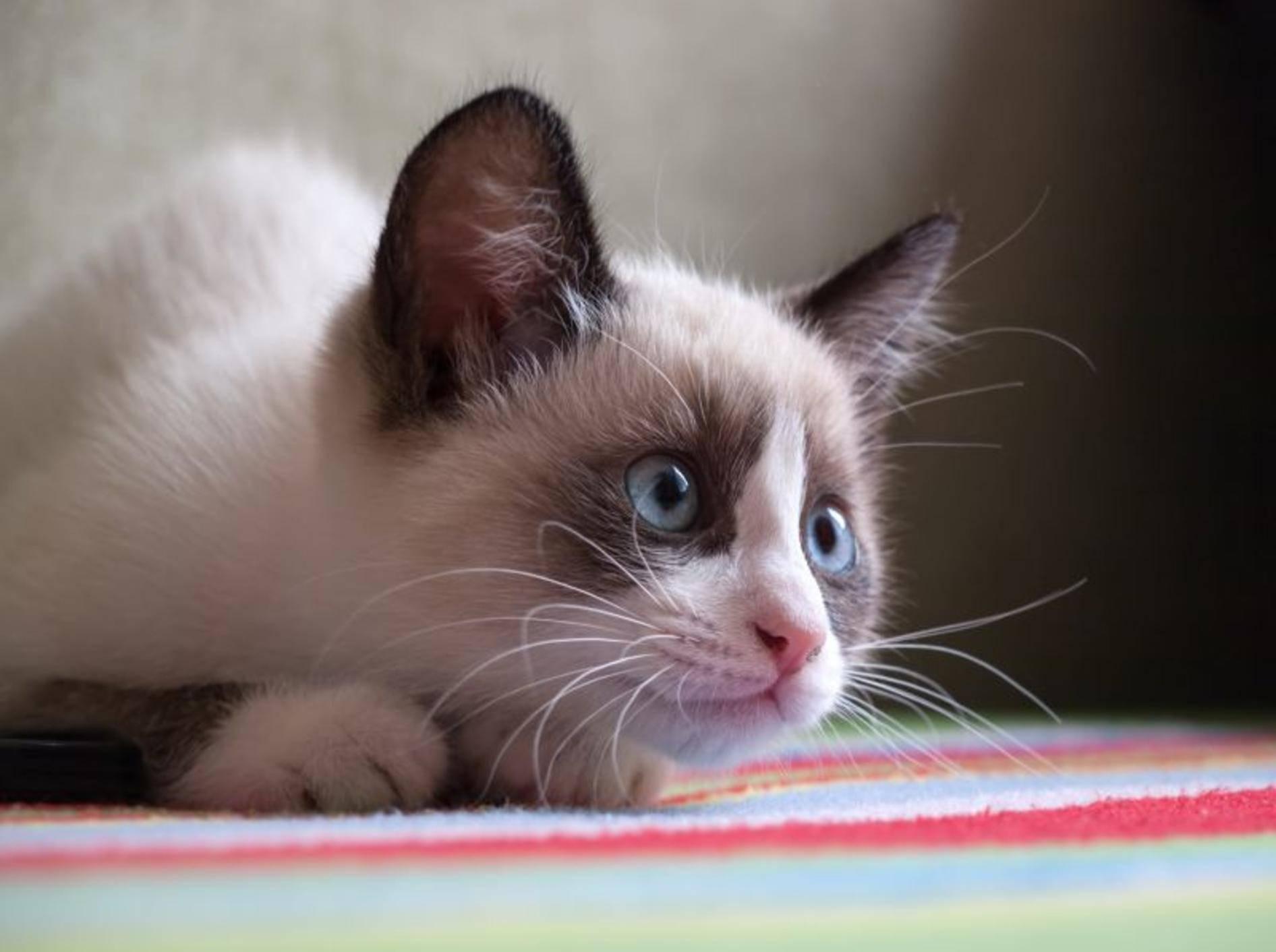 Die Snowshoe ist eine kluge und sensible Katze – Bild: Shutterstock / A. Vasilyev1