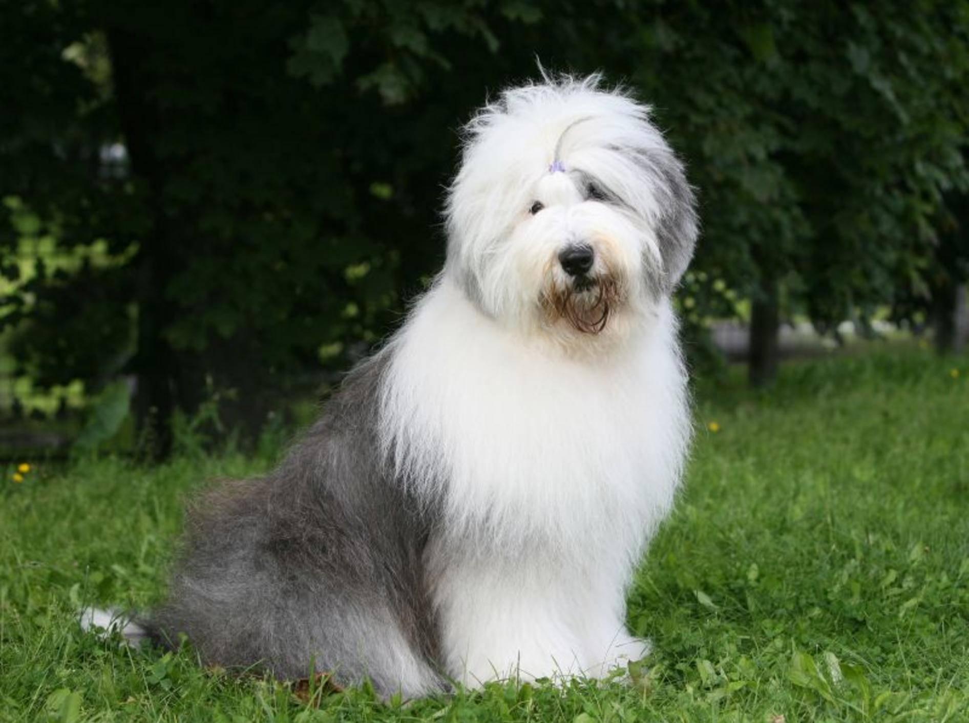Der Bobtail ist ein gutmütiger und anhänglicher Hund – Bild: Shutterstock / Svetlana Valoueva