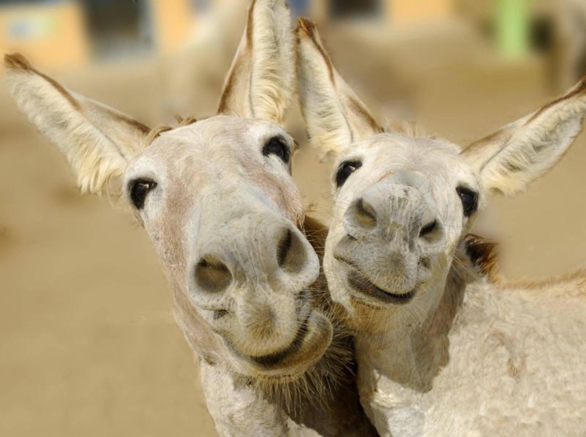 """""""Und Cheeese"""" diese beiden Esel posieren doch gern für die Kamera – Bild: Shutterstock / Blue Iris"""