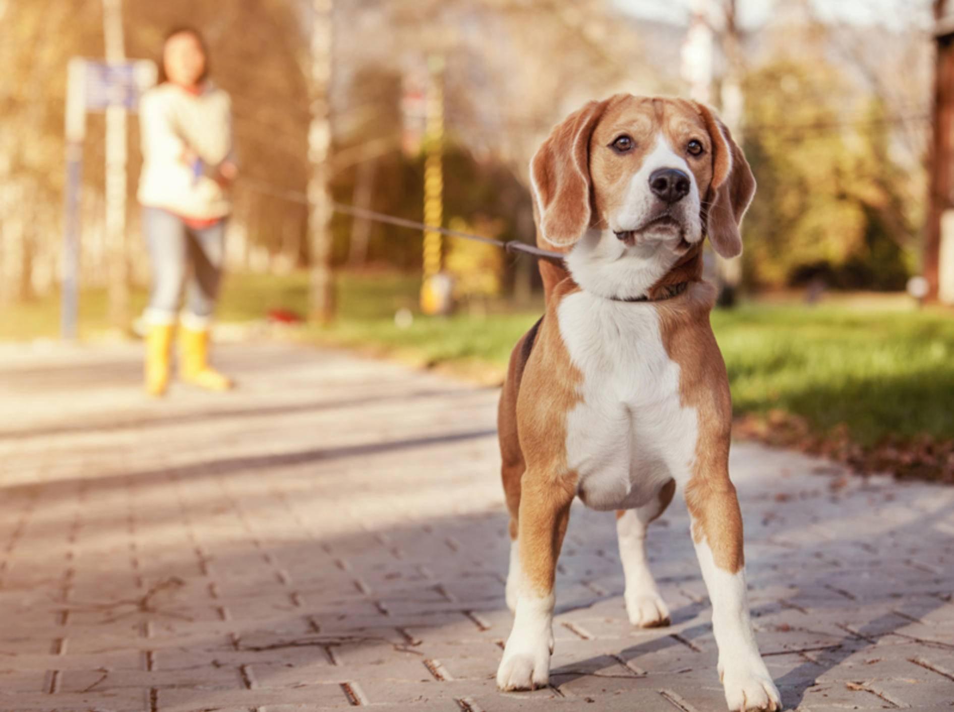 Schleppeleinen werden oft für junge Hunde eingesetzt – Bild: Shutterstock / Soloviova Liudmyla