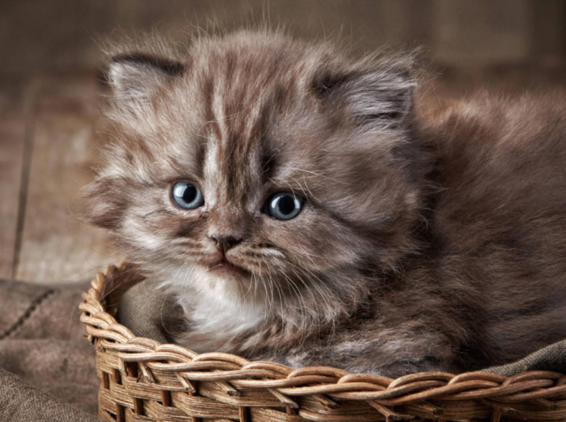 Wer könnte den Augen dieses süßen Britisch-Kurzhaar-Kittens widerstehen? – Bild: Shutterstock / MaraZe