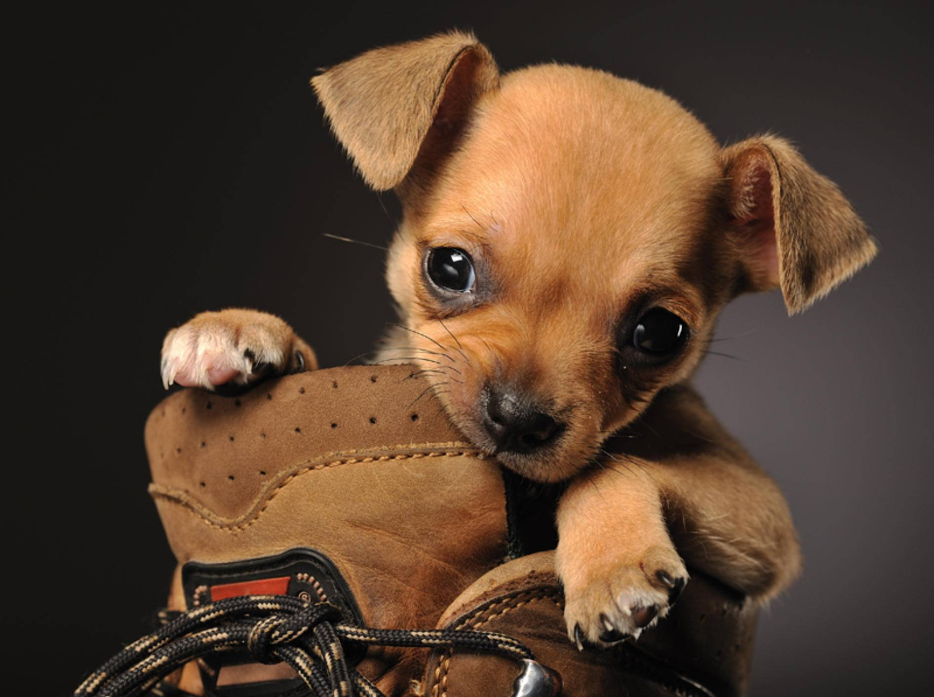 Dieser süße Chihuahua-Welpe wollte unbedingt wissen, was in dem Schuh ist... – Bild: Shutterstock / Nadezhda V. Kulagina