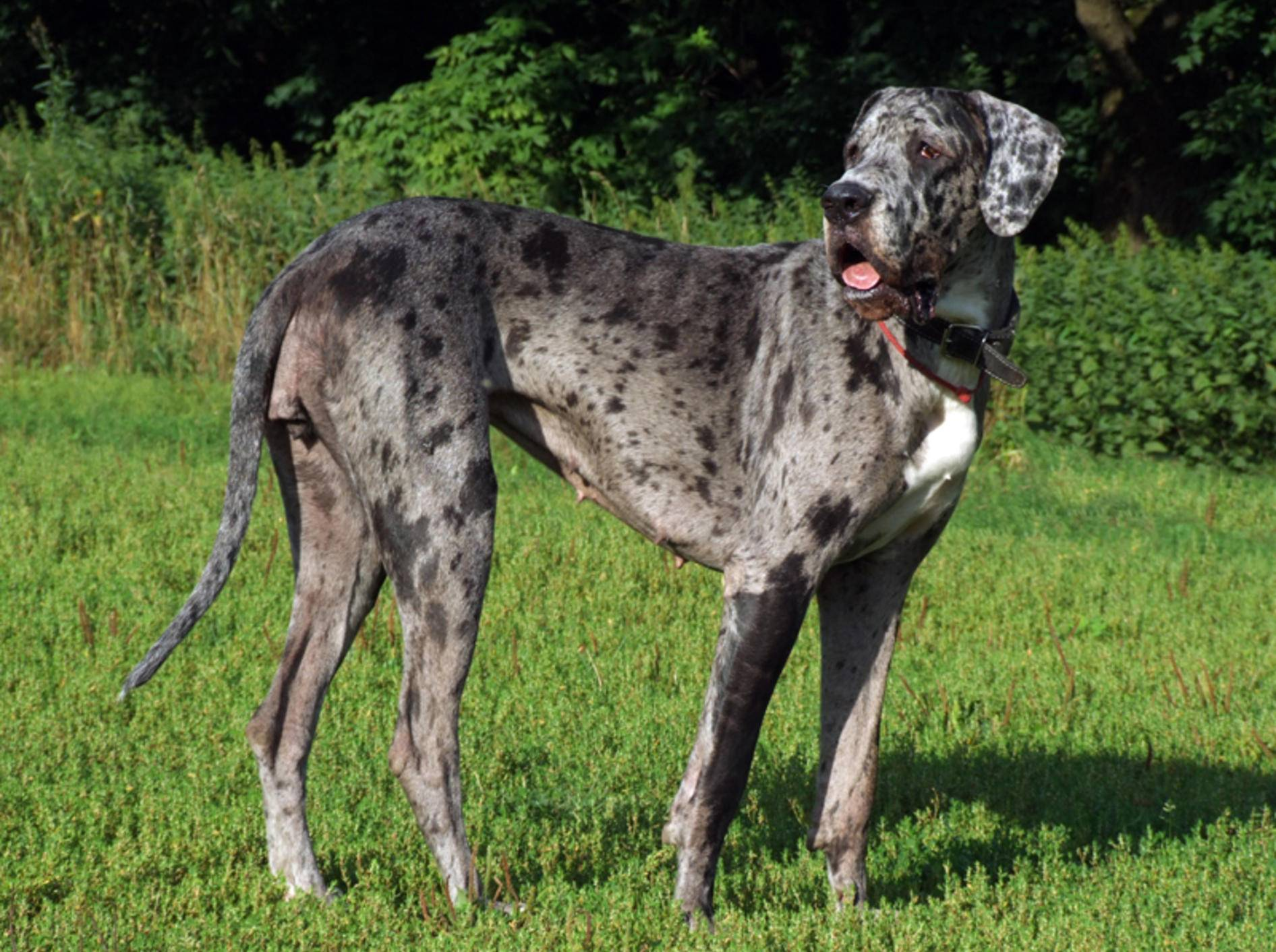 """Im Rassestandard der verschiedenen Länder wird die Deutsche Dogge anders behandelt als der """"Great Dane"""" – Bild: Shutterstock / velora"""