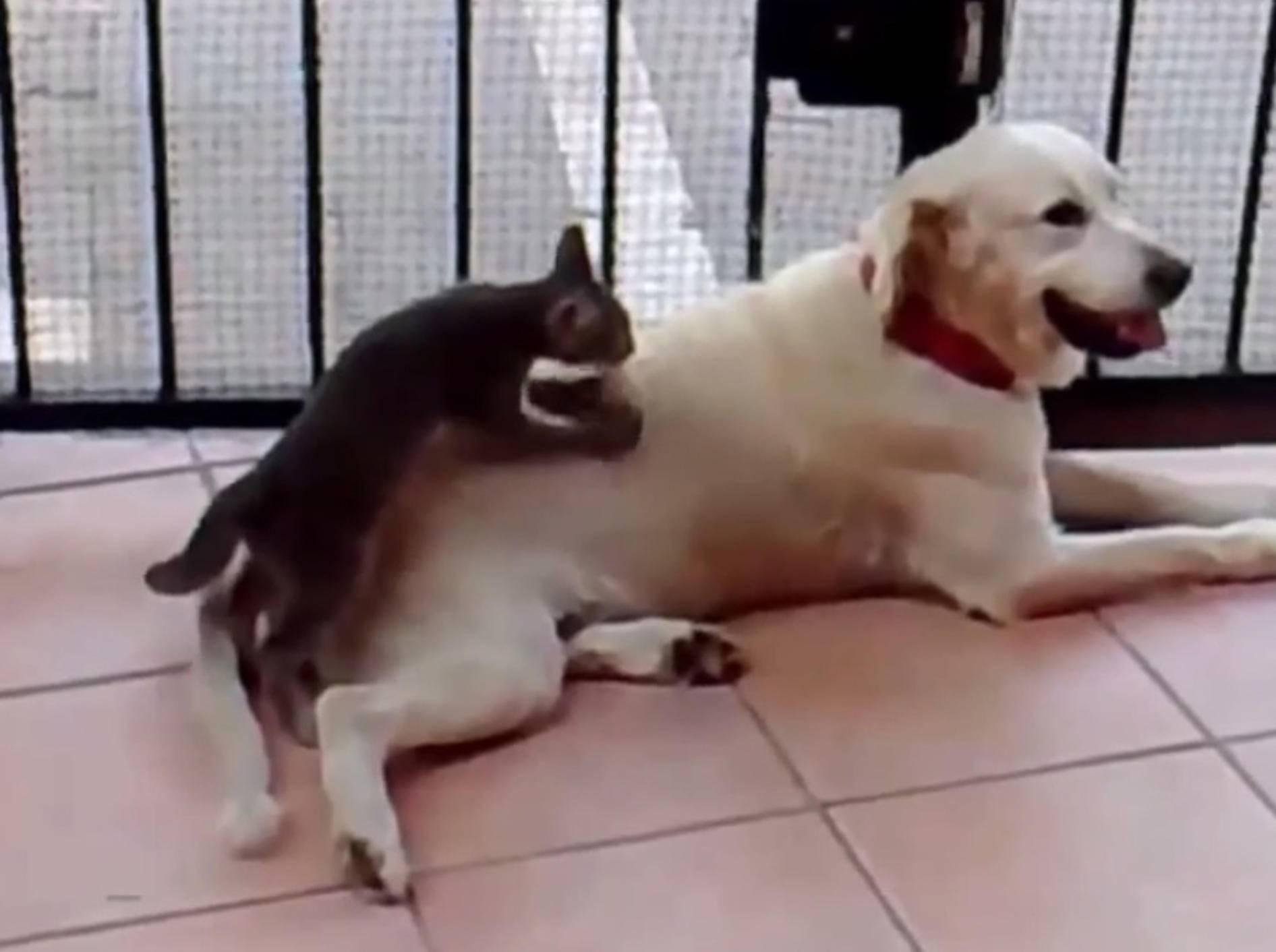 Wellnessalarm: Liebe Katze massiert Labrador – Bild: Youtube / Monituist