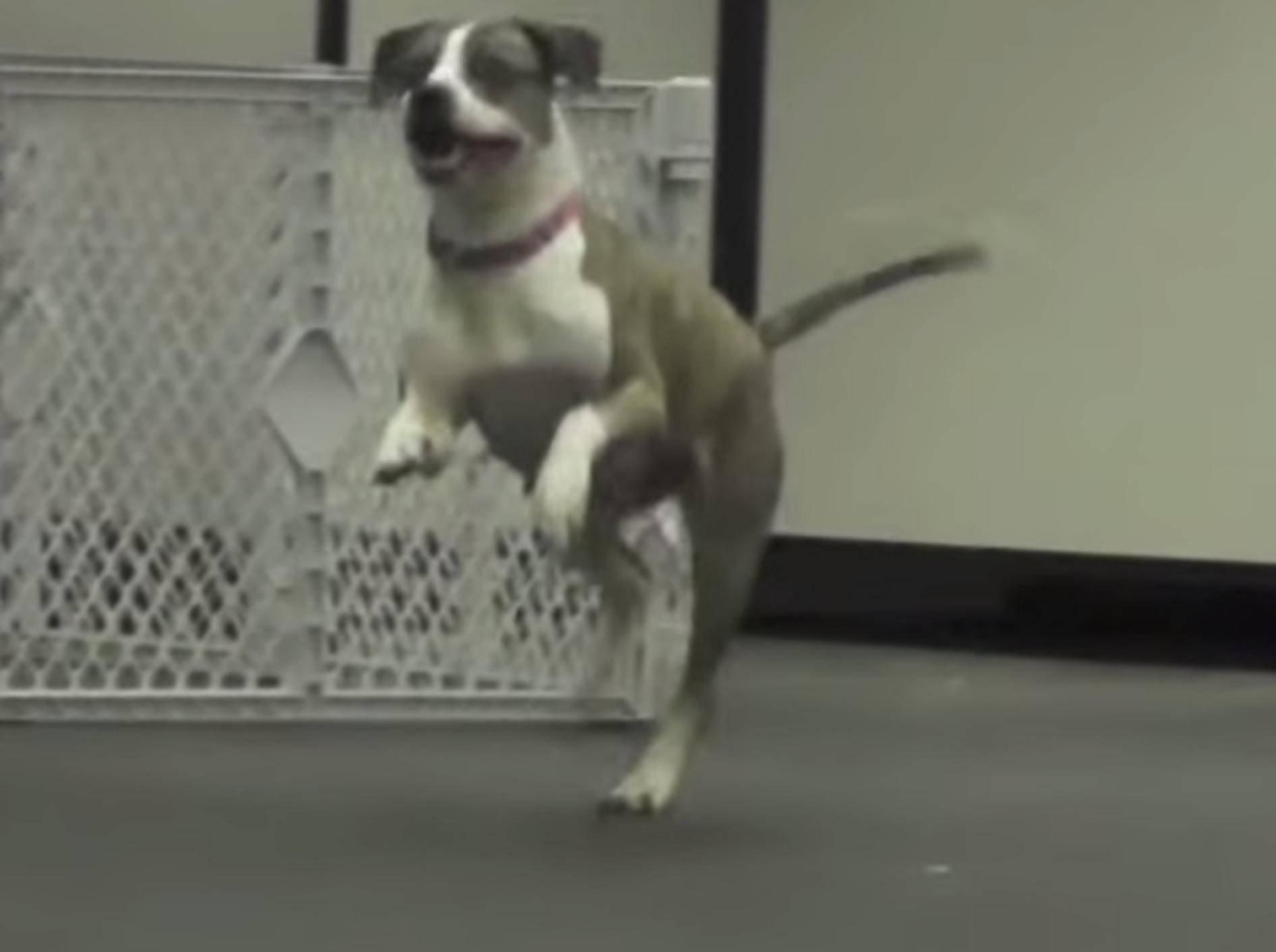 Gelähmte Hündin Lucy kann endlich wieder laufen! – Bild: Youtube / animalhaven