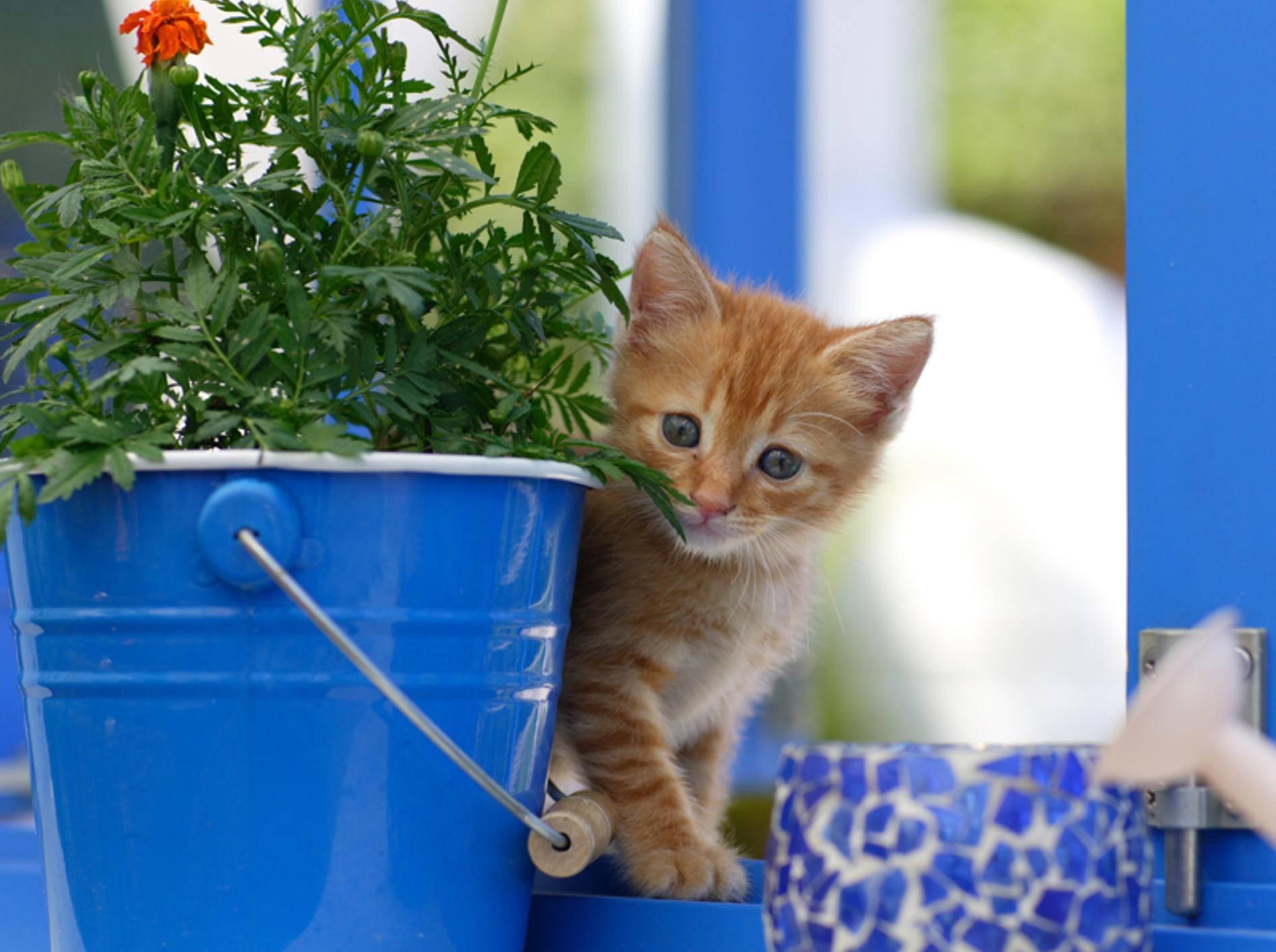 Netter Versuch, kleine Miez, aber deine tolle rote Fellfarbe verrät dich leider – Bild: Shutterstock / kevinChen
