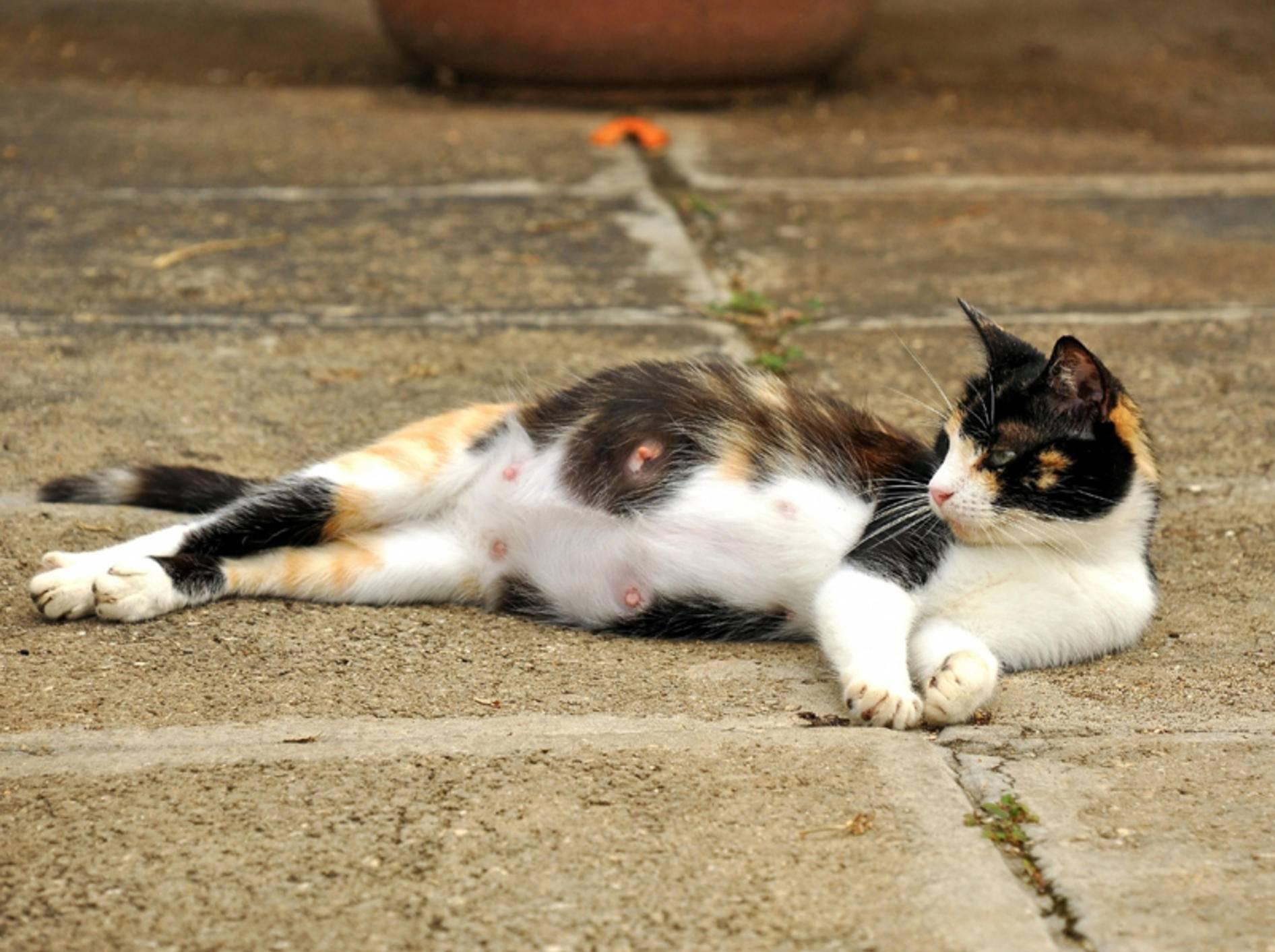 Was ist wichtig, wenn eine Katze trächtig ist? – Bild: Shutterstock / Paul KcKinnon