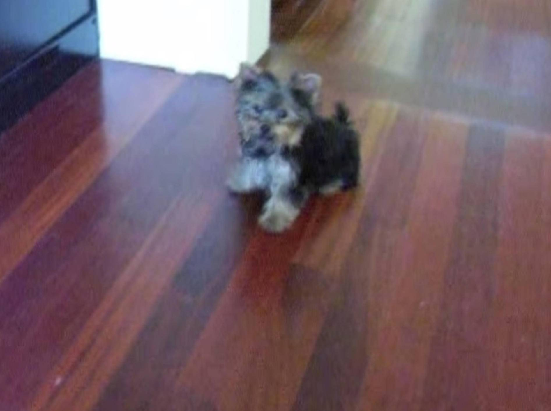 Süßer Yorkshire-Terrier macht den Moonwalk – Bild: Youtube / Keilani78