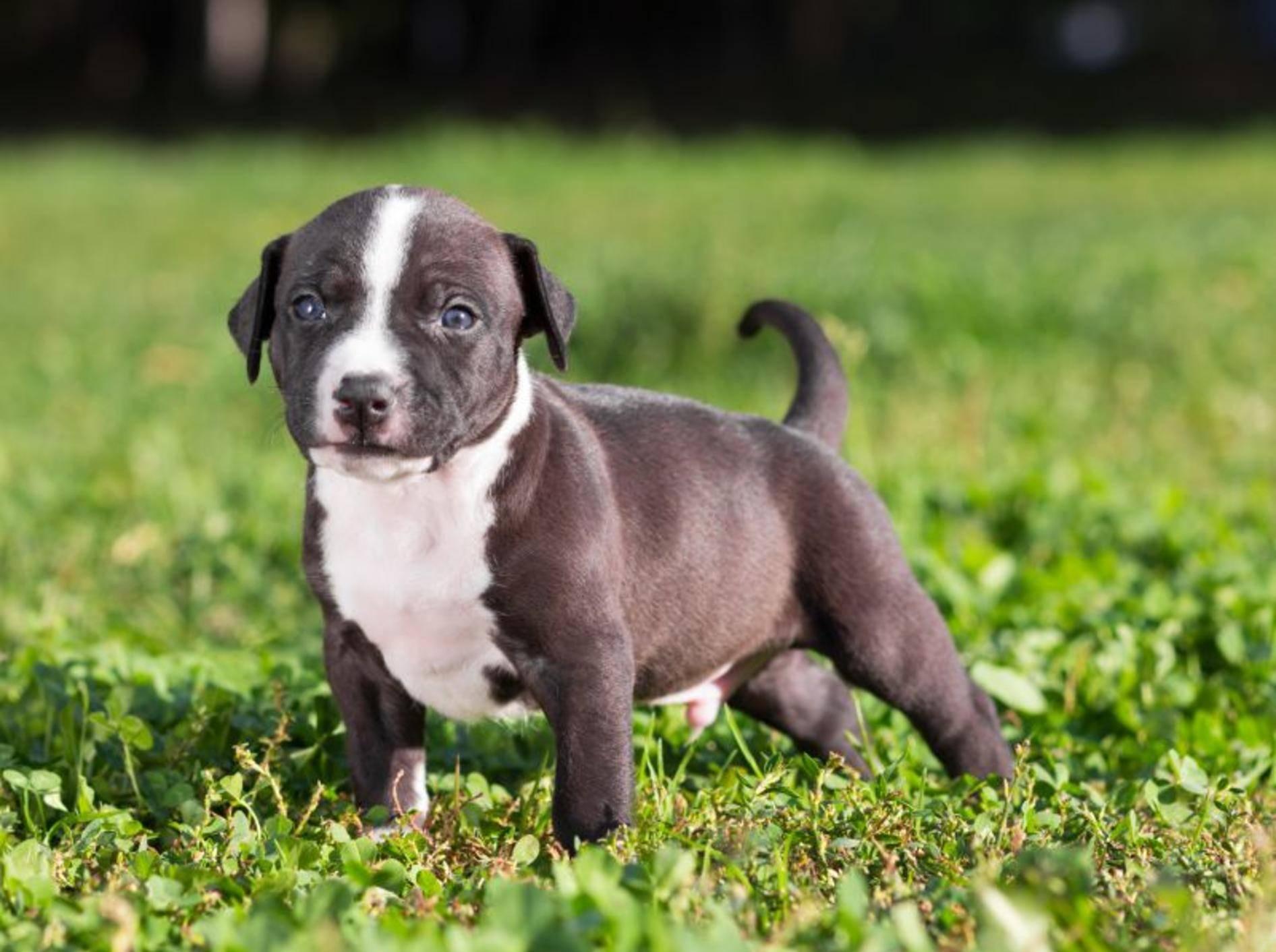Erziehung des American Staffordshire Terrier: Los geht's im Welpenalter – Bild: Shutterstock / Sergey Lavrentev