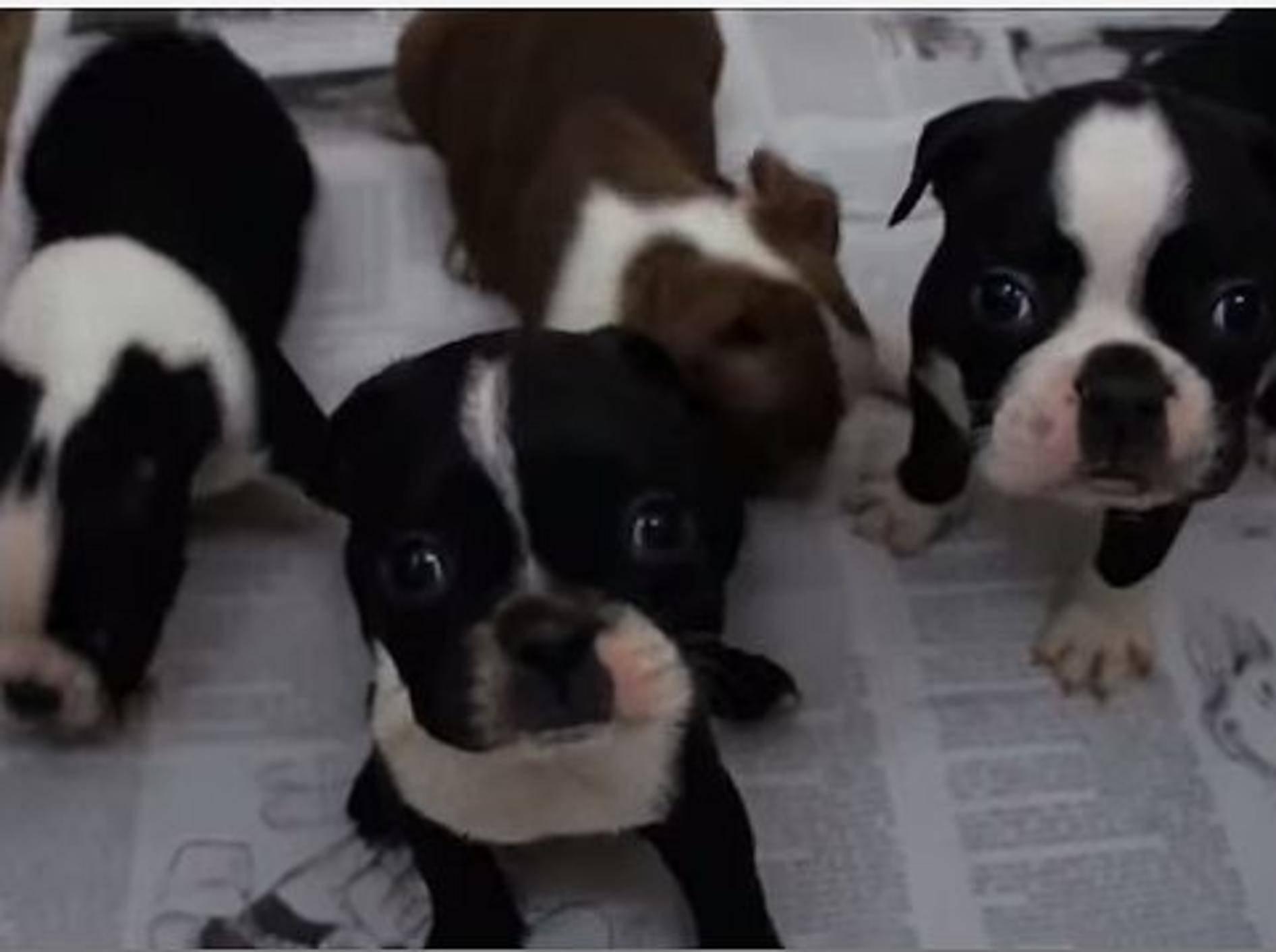 Wie süß: Ein paar Baby-Boston-Terrier – Bild: Youtube / Vigo Renteria