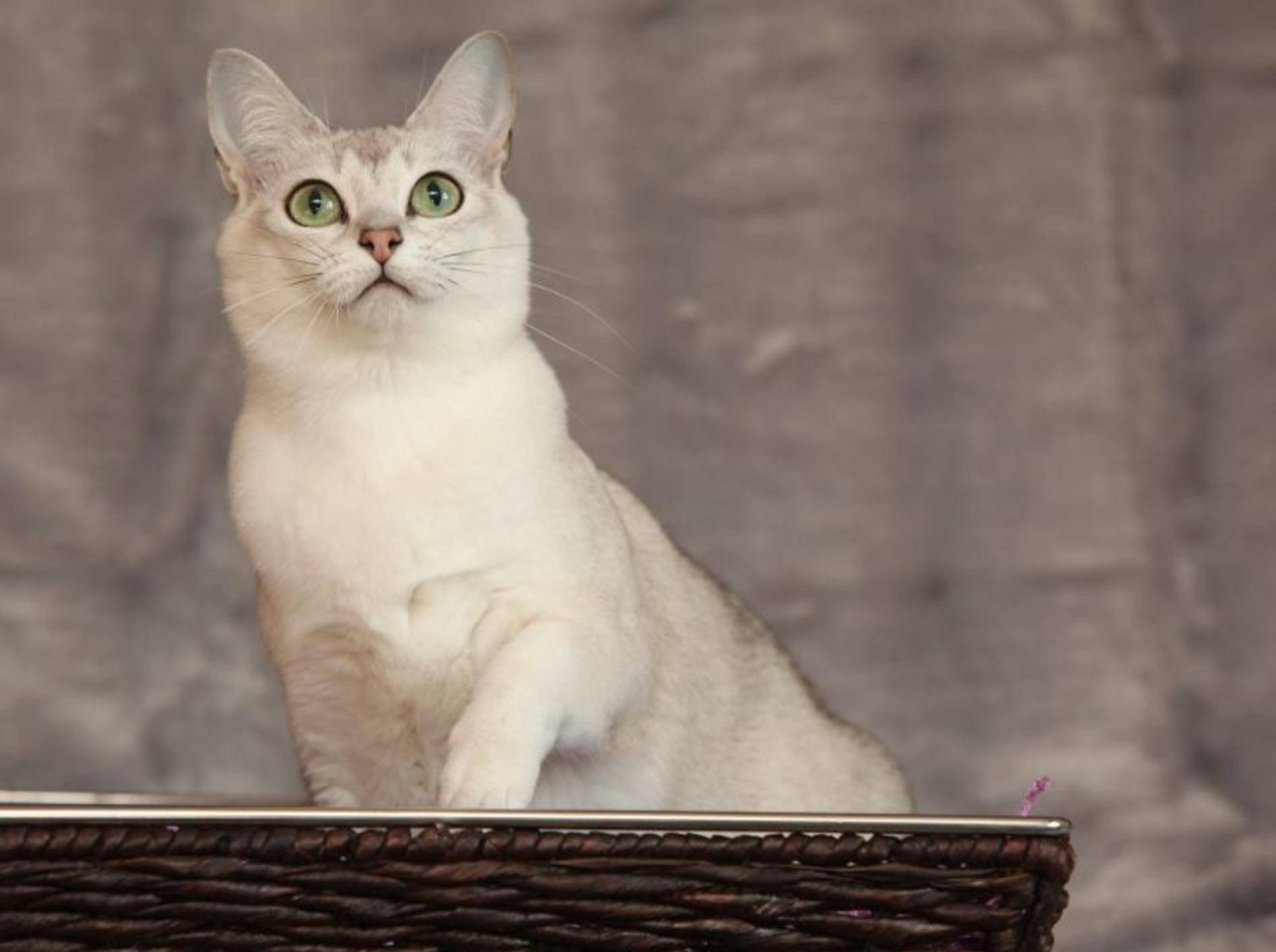 Schön, ruhig und ausgeglichen: Die Burmilla-Katze – Bild: Shutterstock / Zuzule