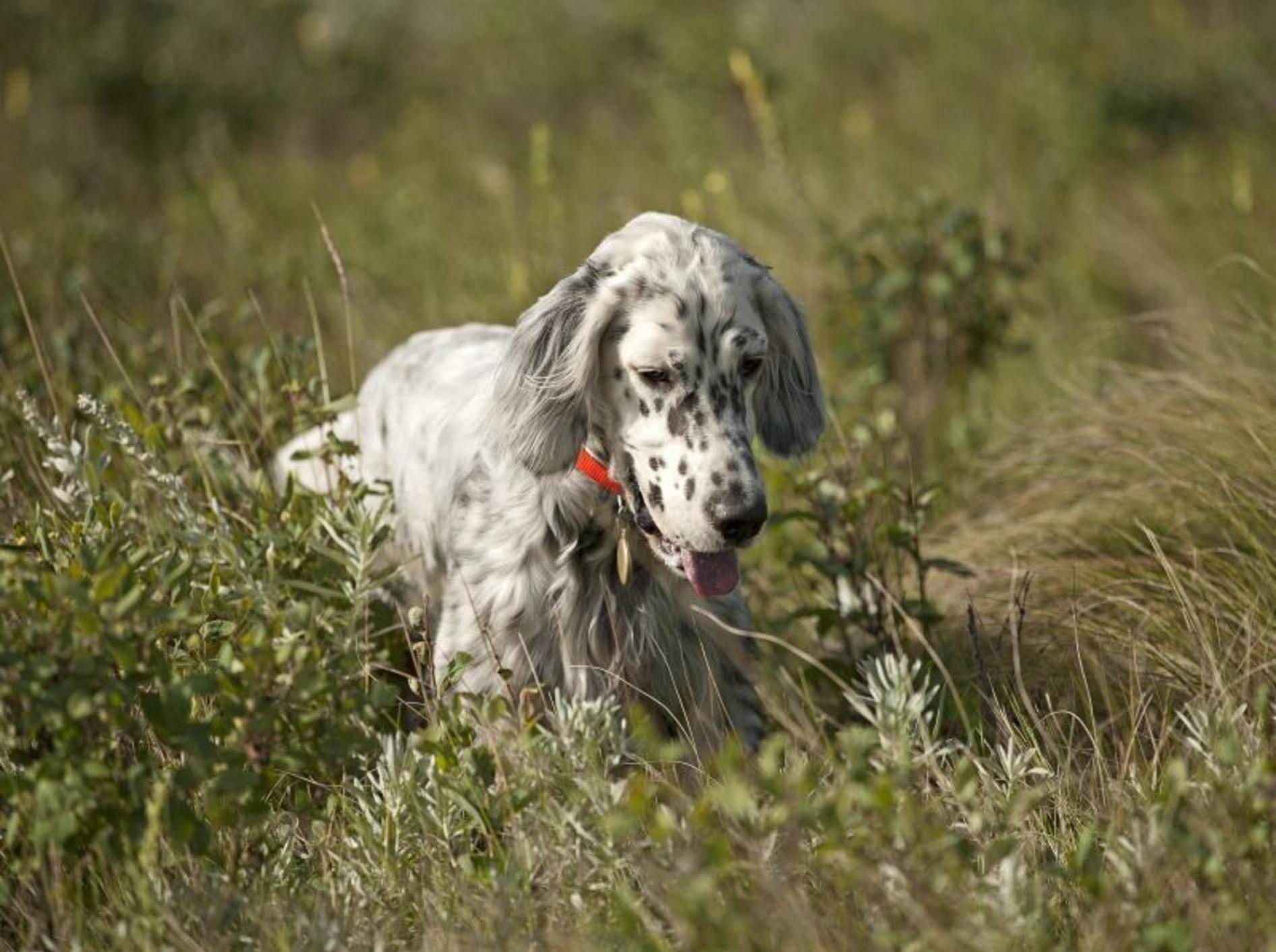 Der English Setter: Ein Hund, der gerne draußen ist – Bild: Shutterstock / Barna Tanko