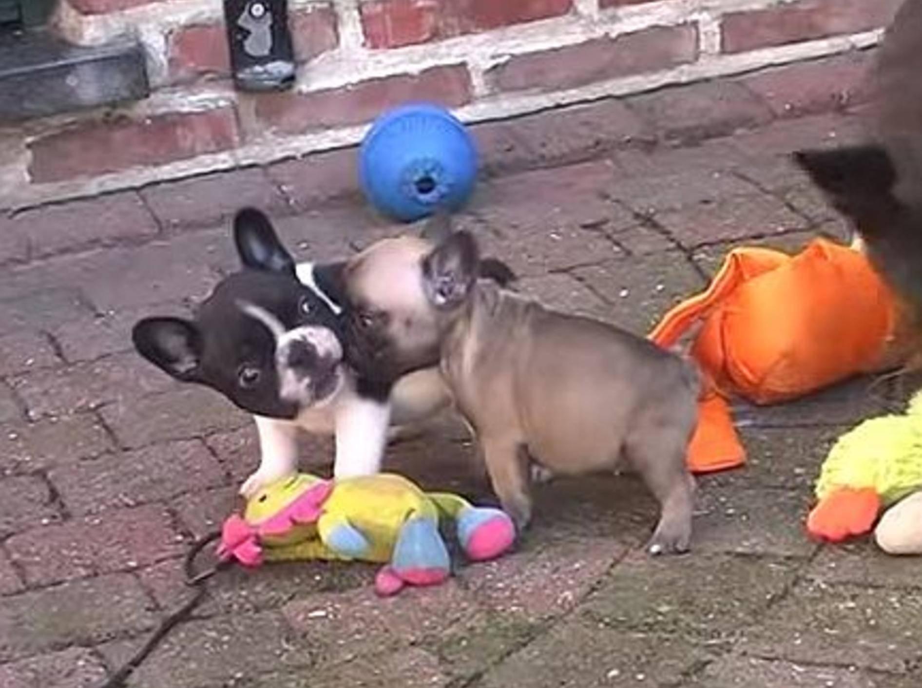 Putzige Welpen: Französische Bulldoggen beim Ausflug – Bild: Youtube / Frans Gilis