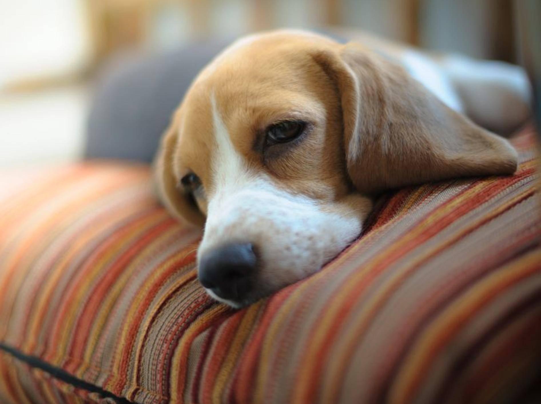 Bei anhaltenden Erkältungssymptomen sollten Sie einen Tierarzt aufsuchen – Bild: Shutterstock / Surachet Meewaew