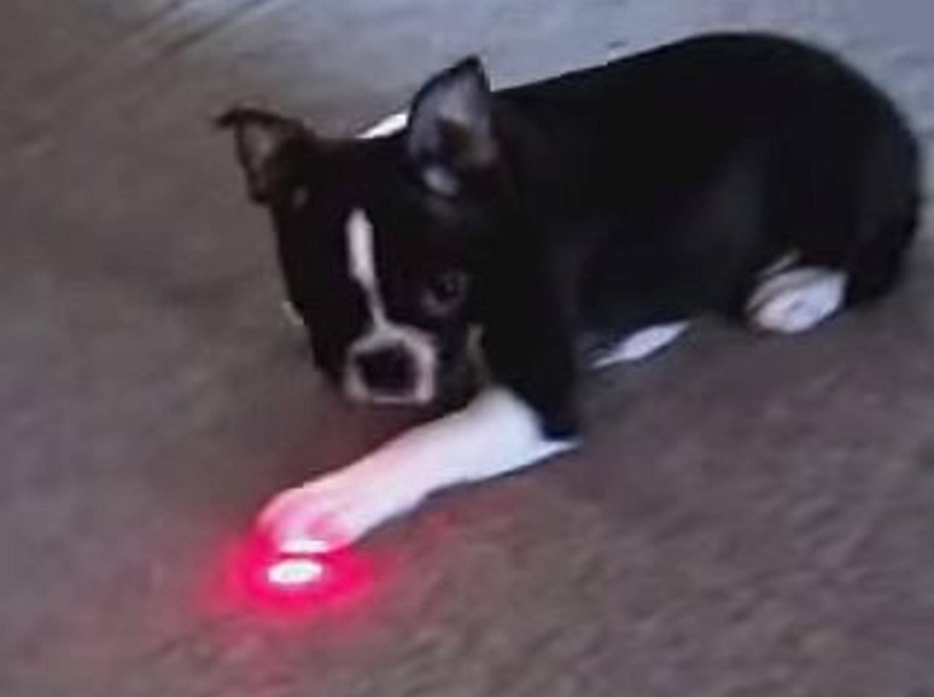 Hunde beweisen: Nicht nur Katzen mögen Laserpointer – Bild: Youtube / CrazyFunnyStuffCFS
