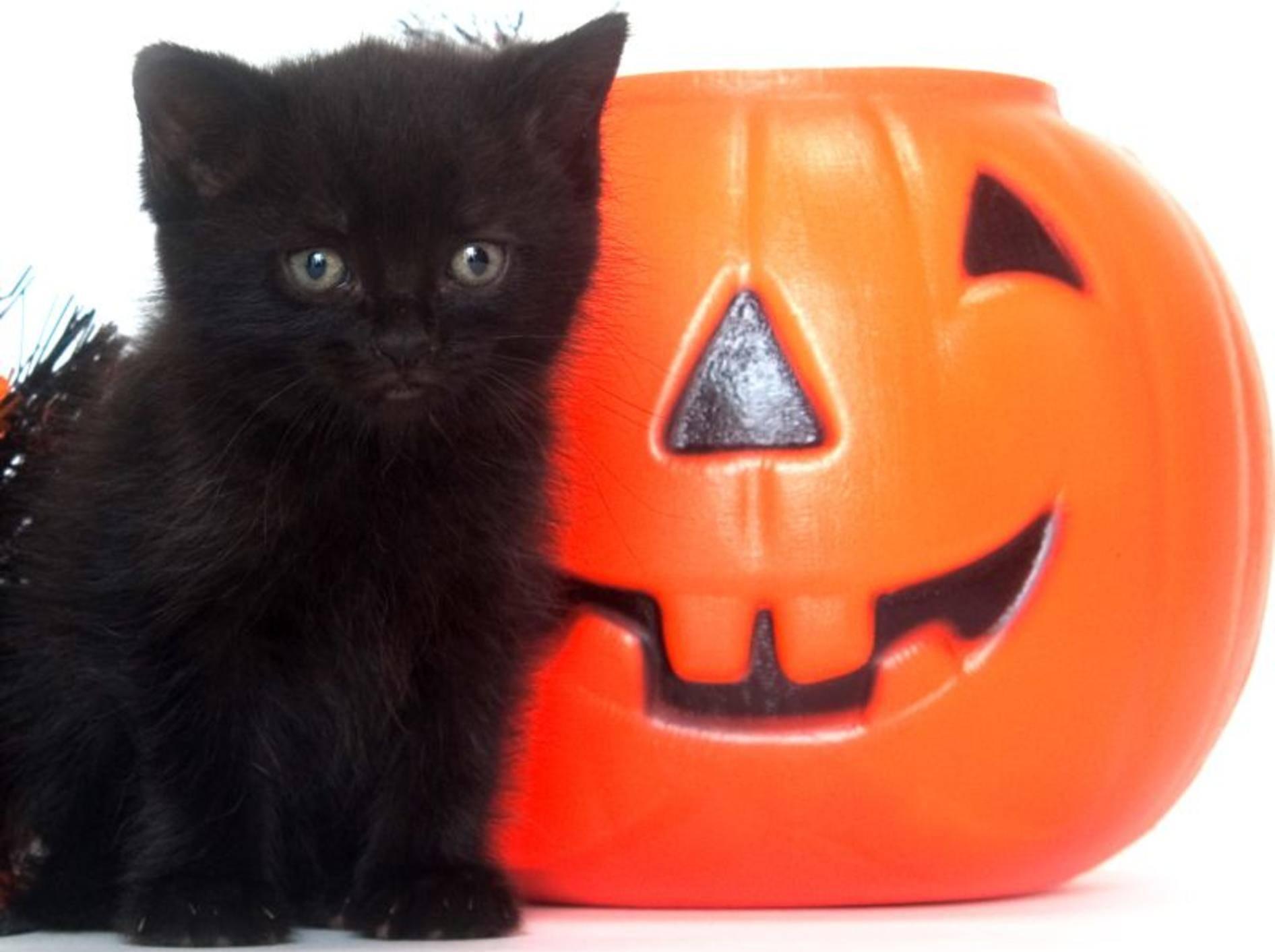 katze-halloween-kuerbisshutterstock- Tony Campbell