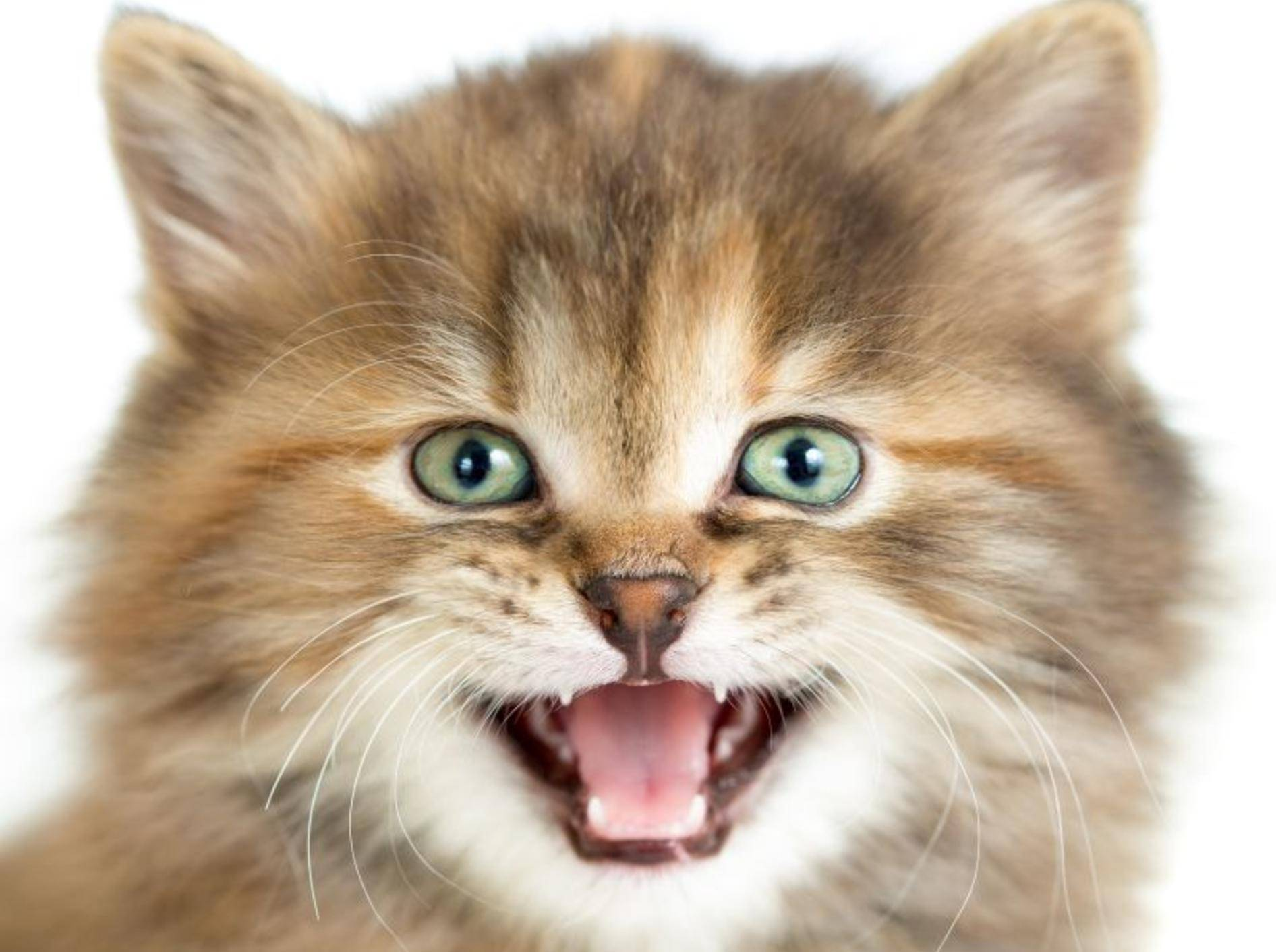 Das Miauen von Katzen kann verschiedene Bedeutungen haben – Bild: Shutterstock / Andrey Kuzmin