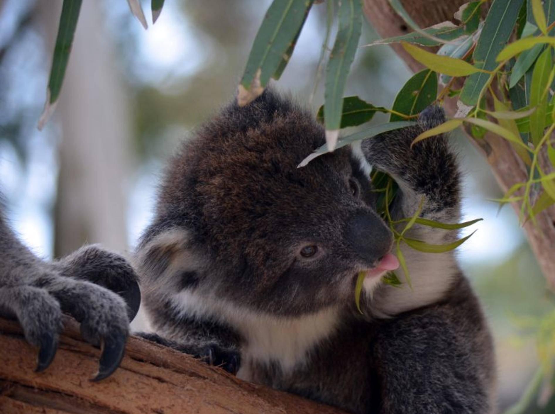 """""""Lecker Eukalyptus!"""", findet dieser kleine Koala – Bild: Shutterstock / Susan Flashman"""
