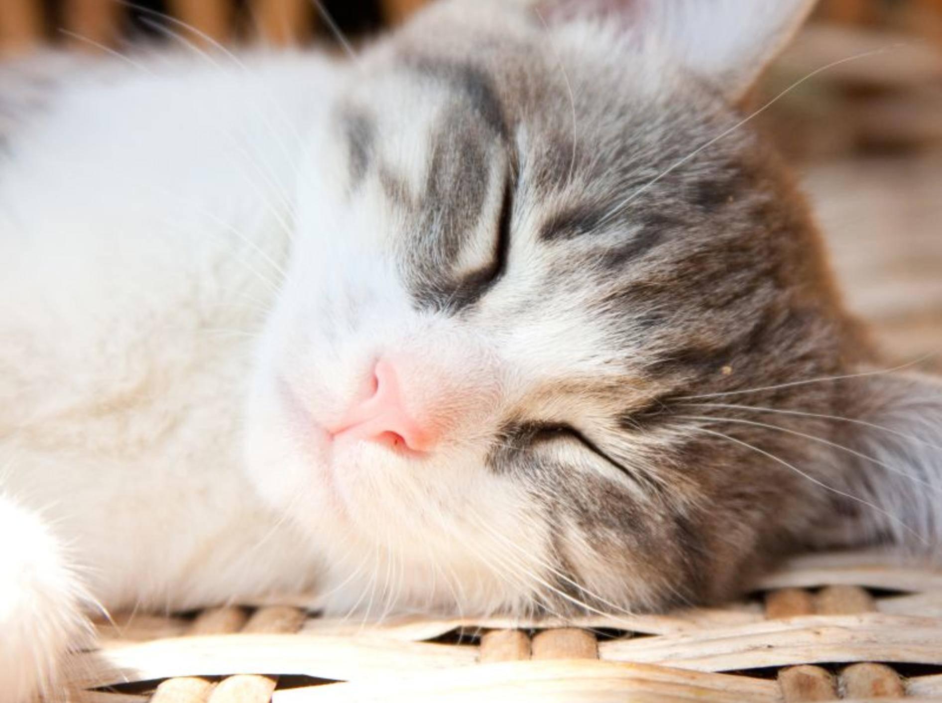 Erkältete Katzen wirken müde und abgeschlagen – Bild: Shutterstock / TalyaPhoto