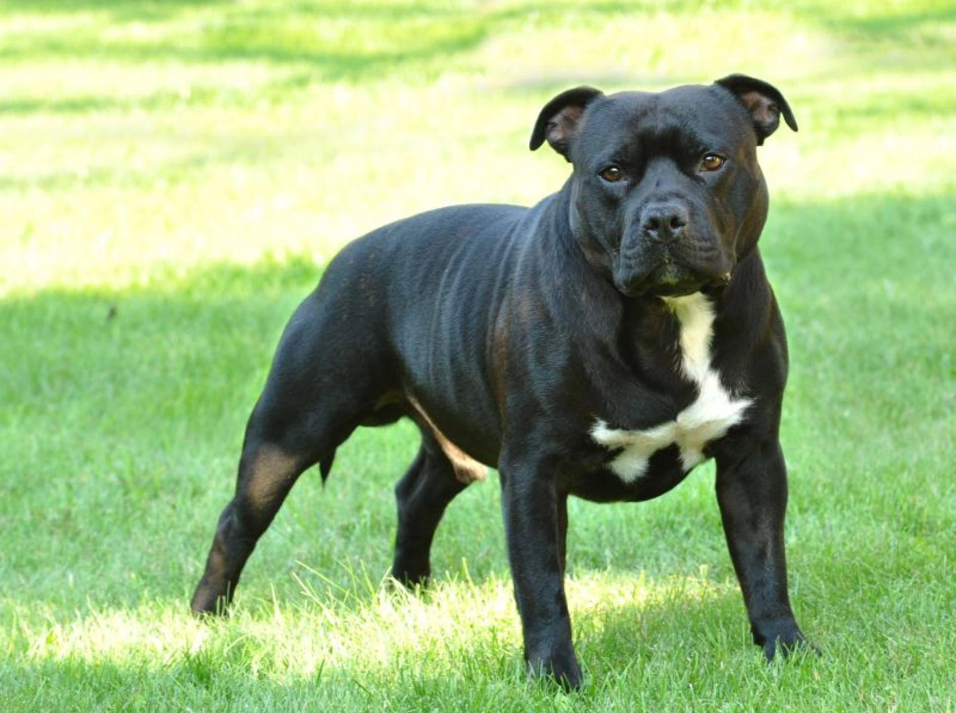 Ein großer, sehr kräftiger Hund: Der American Staffordshire Terrier – Bild: Shutterstock / Waldemar Dabrowski