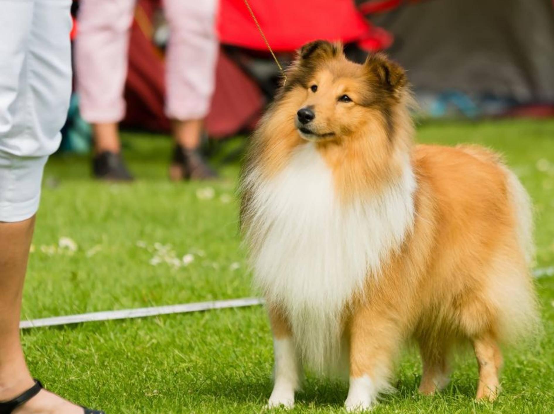 shetland-sheepdog-hund-shutterstock-Imfoto
