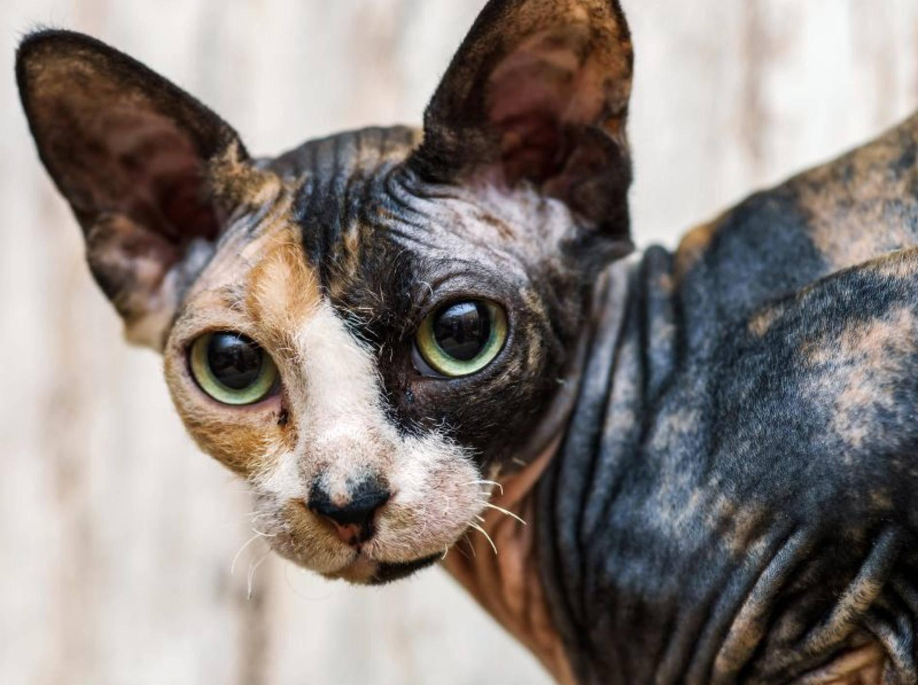 Die Sphynx-Katze ist überhaupt nicht gern allein – Bild: Shutterstock / bonzodog