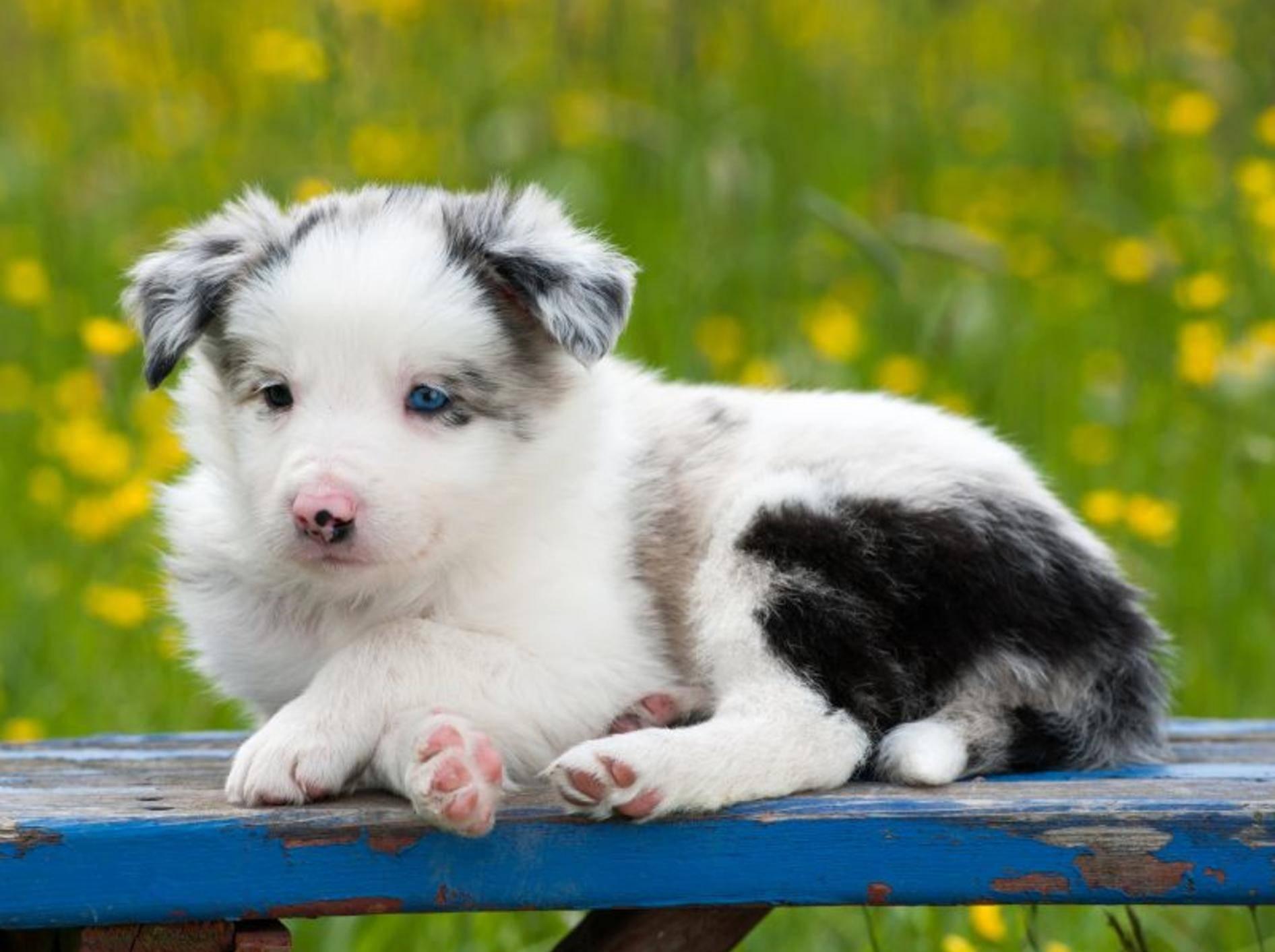 Kleine Pfötchen, blaue Augen, süßer Hundeblick: An diesem Border-Collie-Welpen ist einfach alles süß! – Bild: Shutterstock / Dora Zett