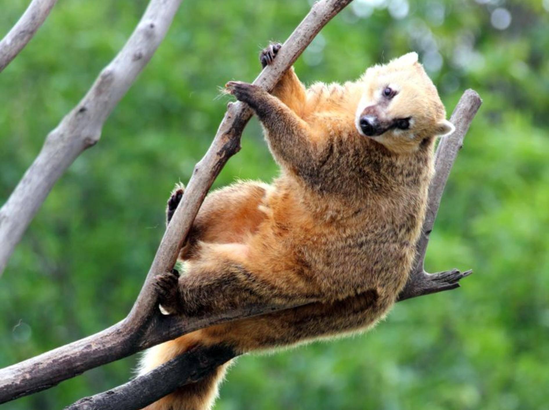 Wie man sieht: Der Nasenbär ist ein Klettermax – Bild: Shutterstock / Kokhanchikov