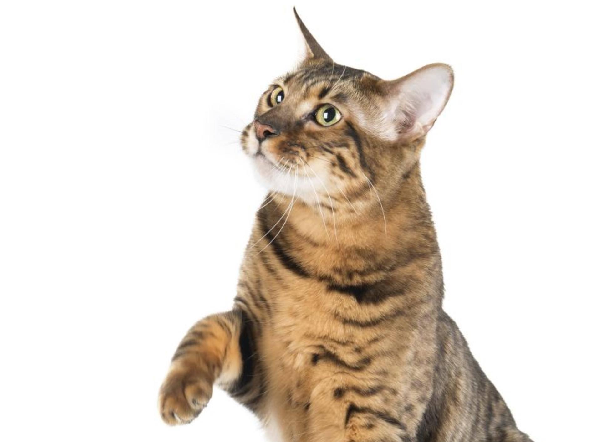 Kleiner Tiger mit freundlichem Charakter: Der Toyger – Bild: Shutterstock / Vivienstock