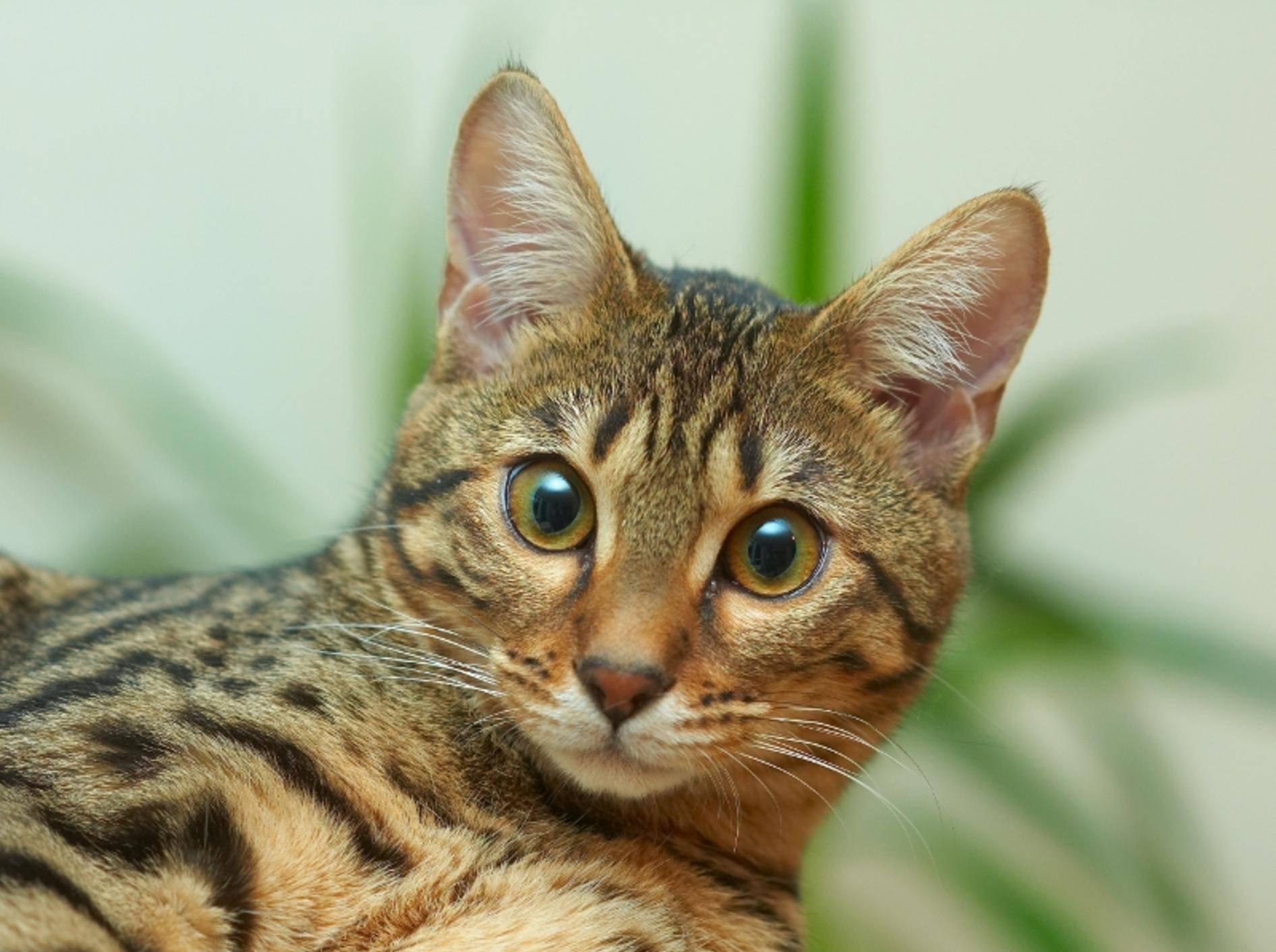 """Wunderschöne Bengal-Katze: """"Schau' mir tief in die Augen!"""" – Bild: Shutterstock: MAGDALENA SZACHOWSKA"""
