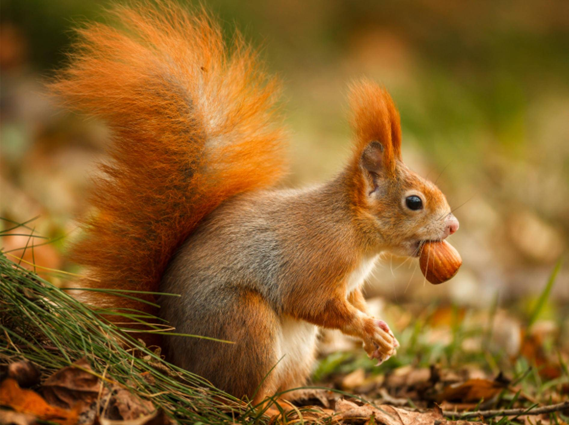 """Eichhörnchen hat eine Nuss gefunden: """"Leckerrrrr!"""" – Bild: Shutterstock / Neil Burton"""