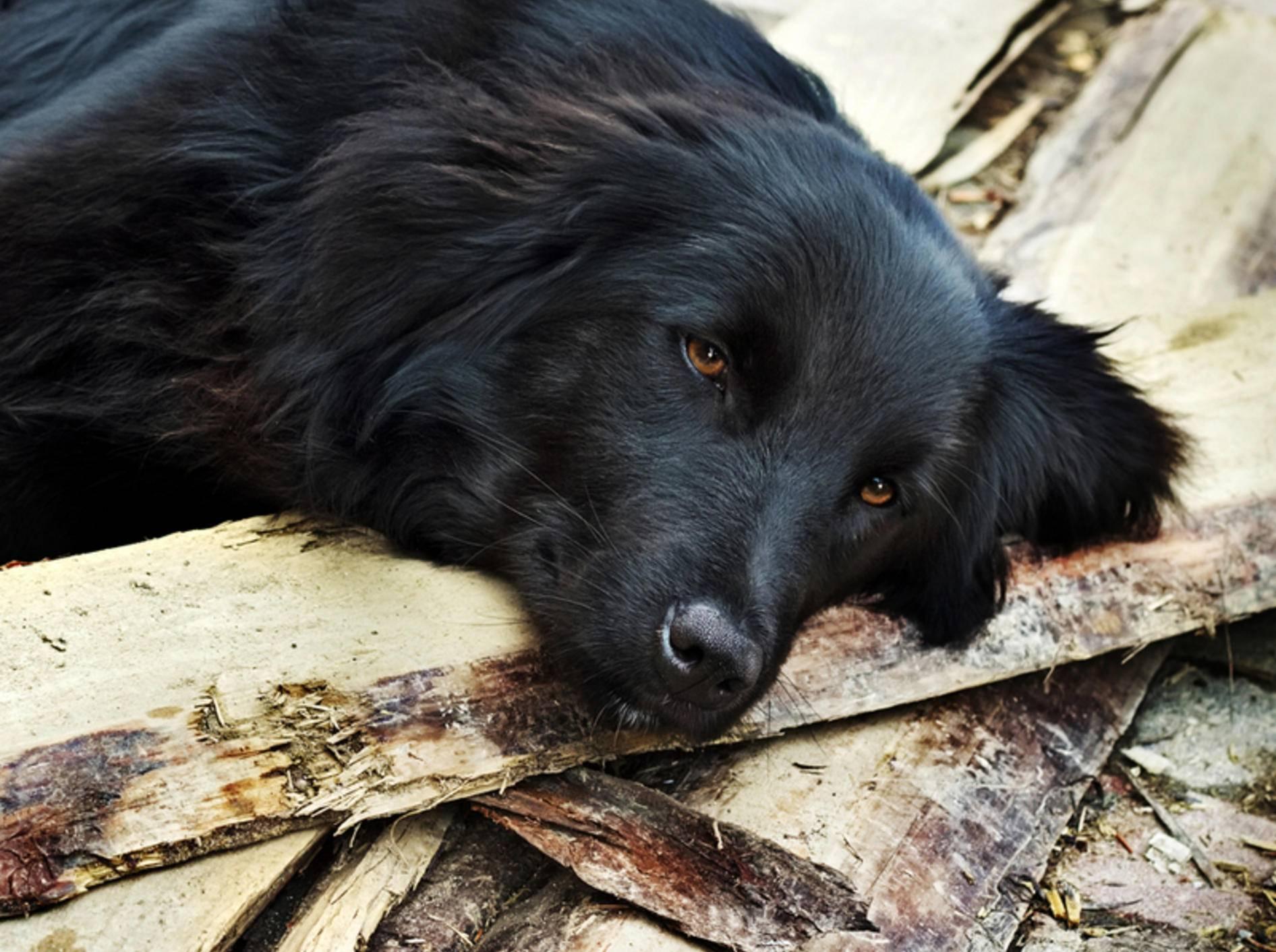 Ein Hund mit einem Schock wirkt apathisch – Bild: Shutterstock / Kosobu