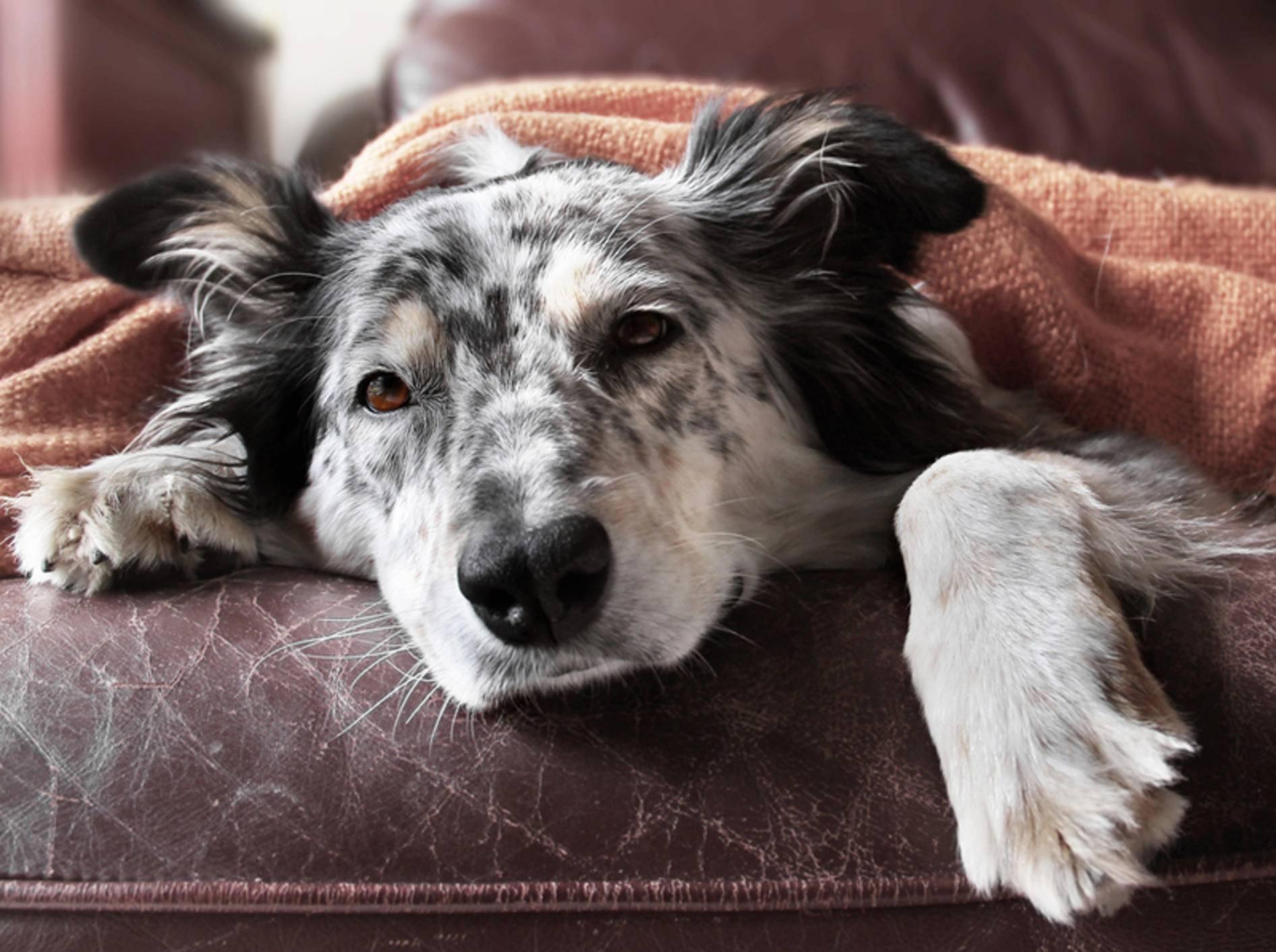 Fieber gehört zu den häufigsten Anzeichen einer Blutvergiftung bei Hunden – Bild: Shutterstock / Lindsay Helms