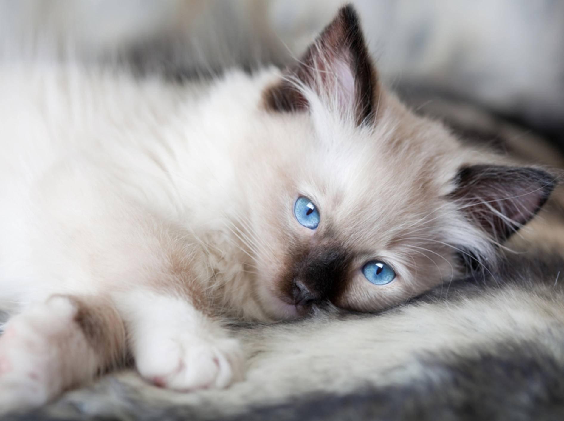 Ragdoll-Katzenbabys fallen besonders durch ihre strahlend blauen Augen auf – Bild: Shutterstock / Anneka