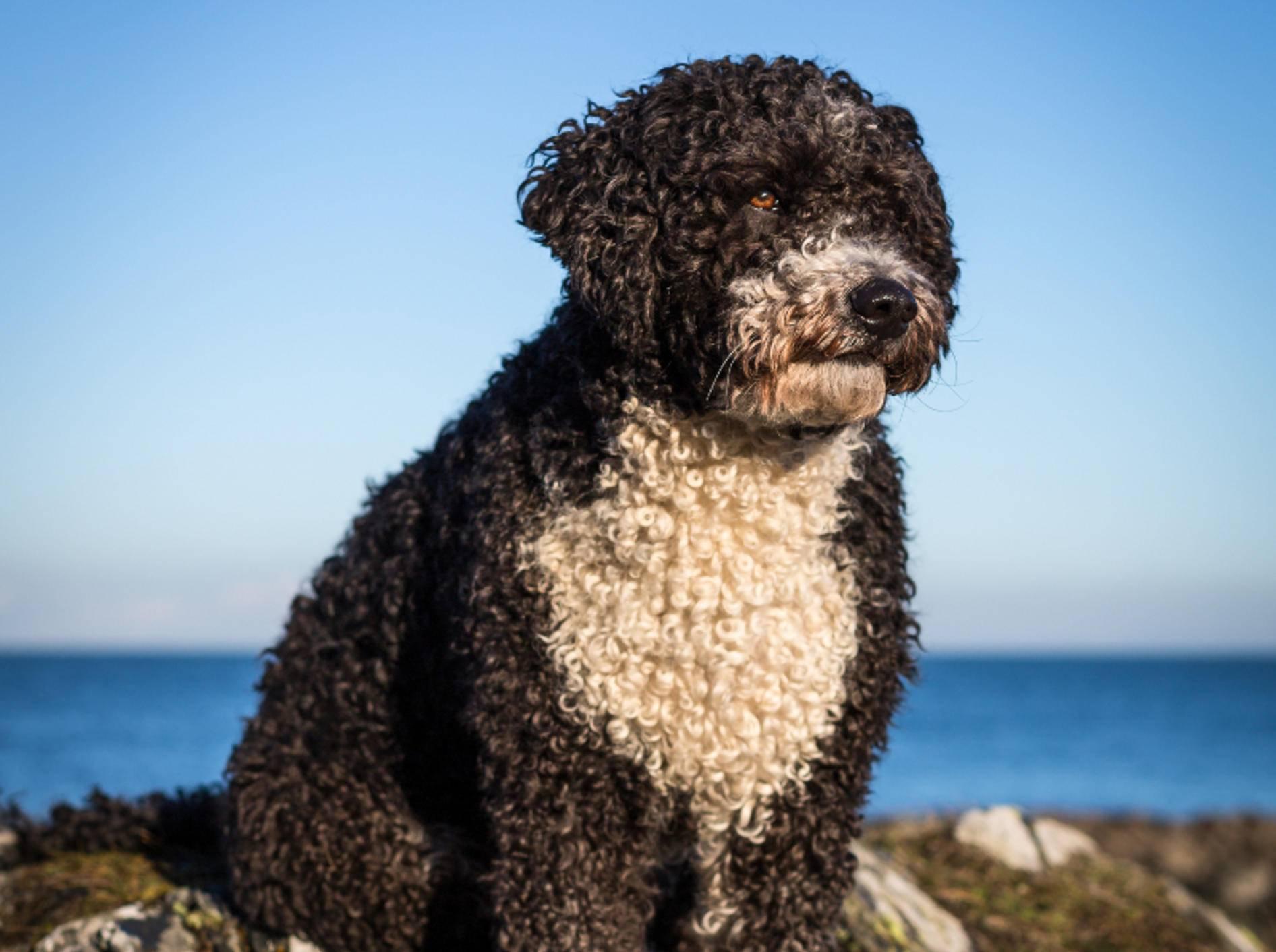 Der Spanische Wasserhund hat ein schönes, lockiges und wasserabweisendes Fell – Bild: Shutterstock / Daz Brown Photography