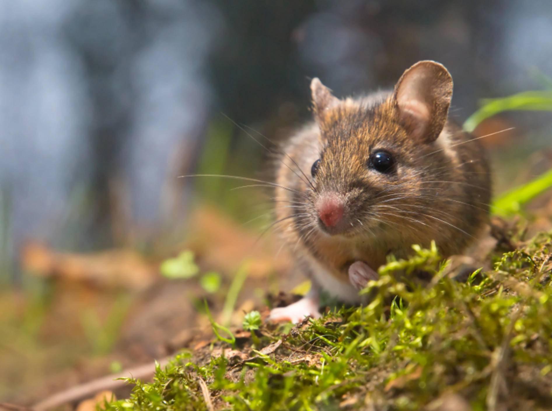 Emsig und neugierig: Die Waldmaus – Bild: Shutterstock / CreativeNature.nl
