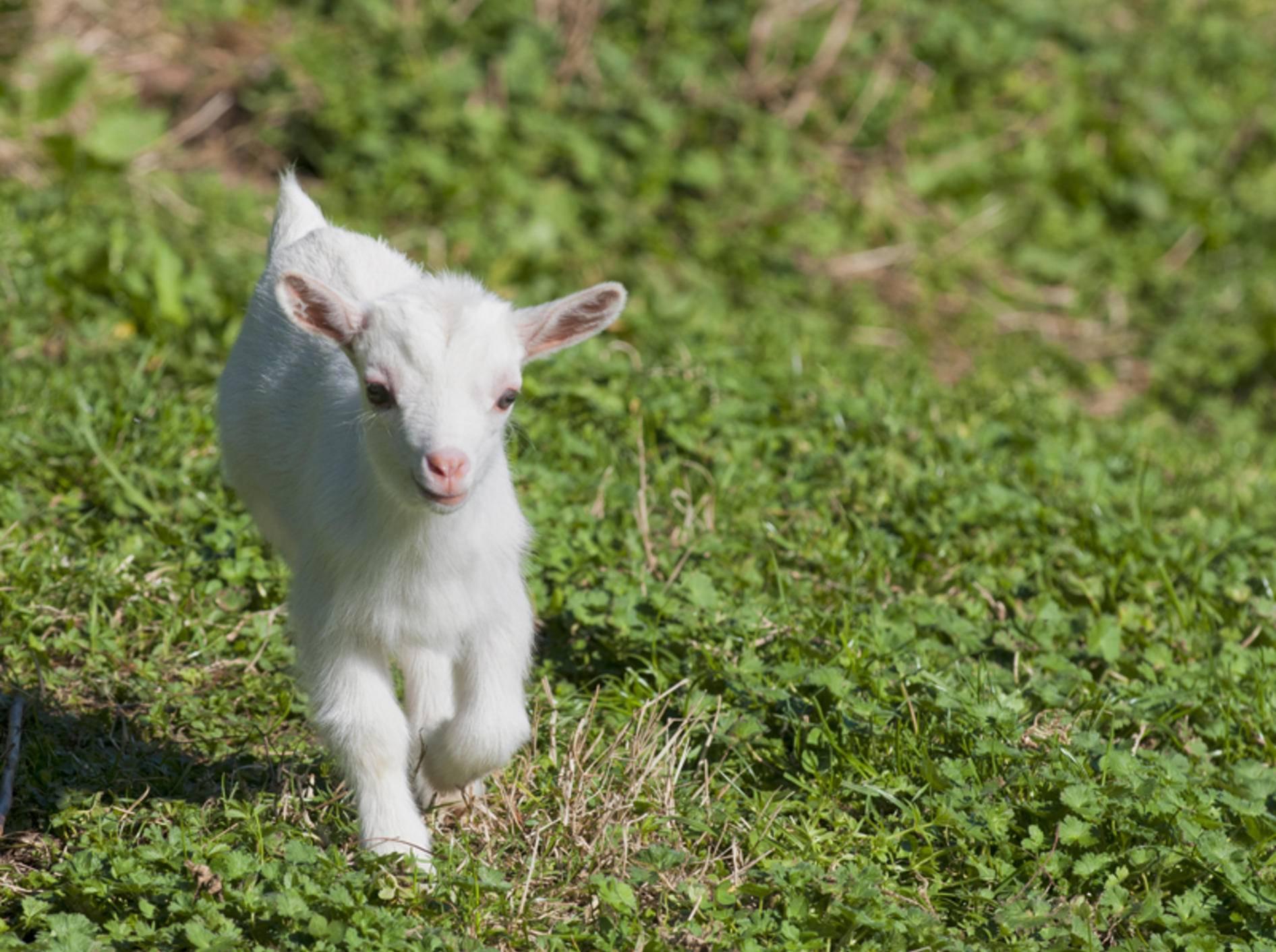 Wohin diese kleine Ziege wohl so eilig auf dem Weg ist? – Bild: Shutterstock / Andrea Izzotti