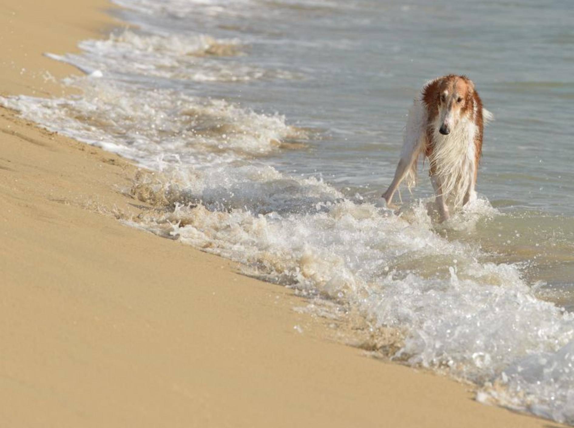 Spaziergänge am Strand: Das Richtige für den lauffreudigen Barsoi – Bild: Shutterstock / tsik