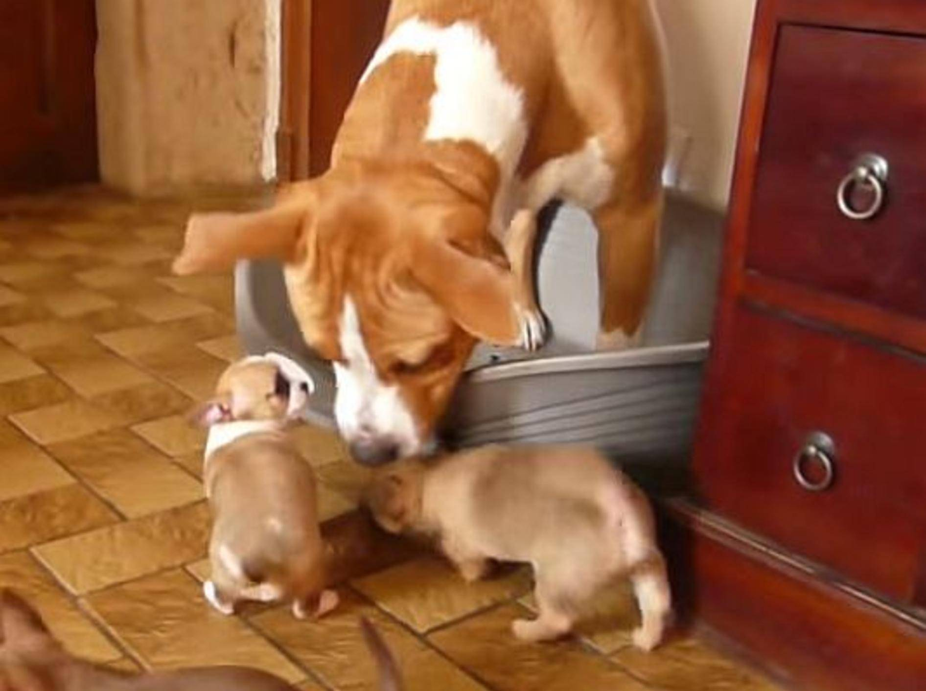 American Staffordshire Terrier trifft Chihuahua-Welpen – Bild: Youtube / Léa DesBanditsDeTula