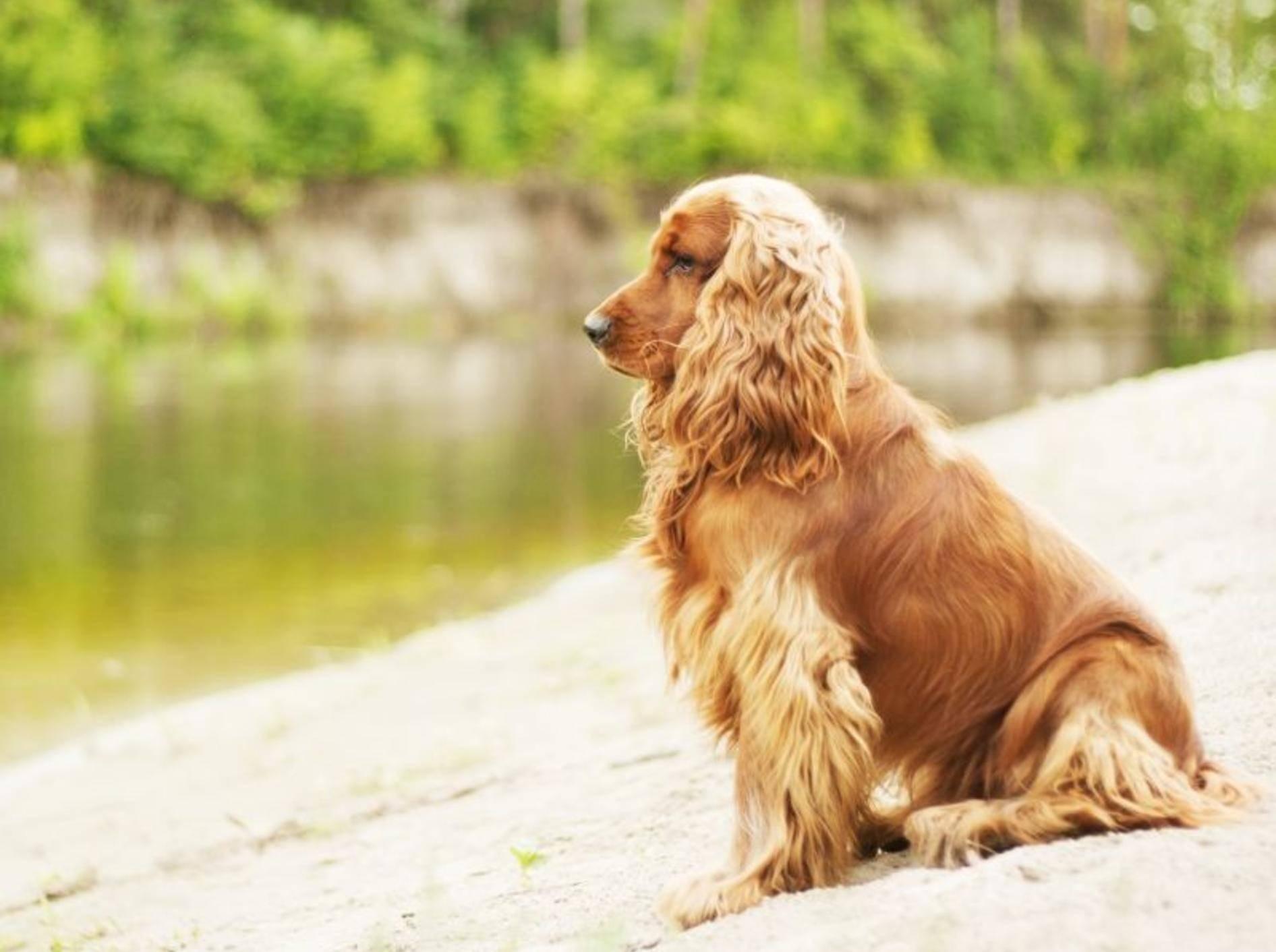 Der Cocker Spaniel: Ein vielseitiger Hund – Bild: Shutterstock / Alan Mardi