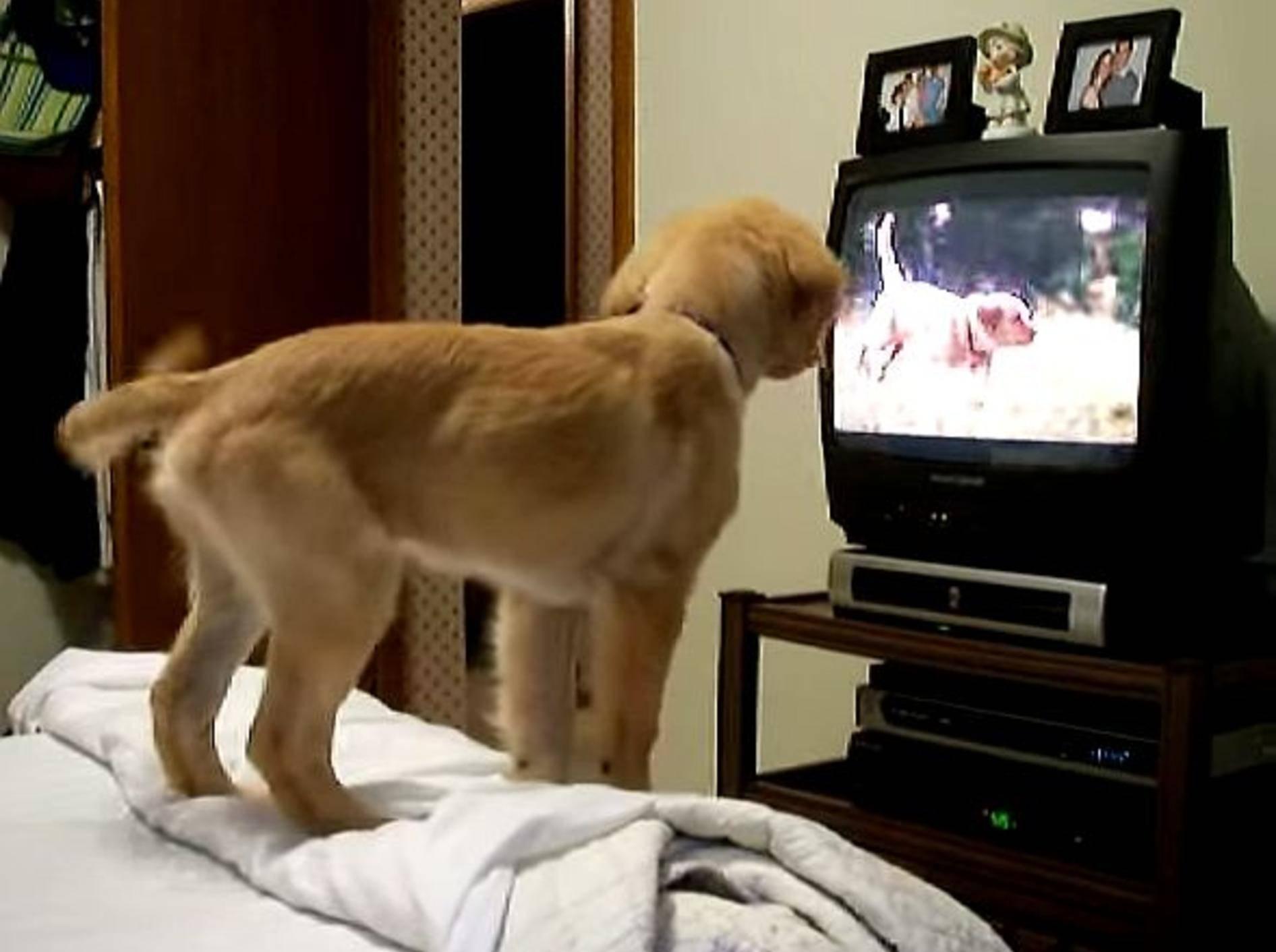 Golden-Retriever-Welpe findet Fernsehen klasse! – Bild: Youtube / bellezza128