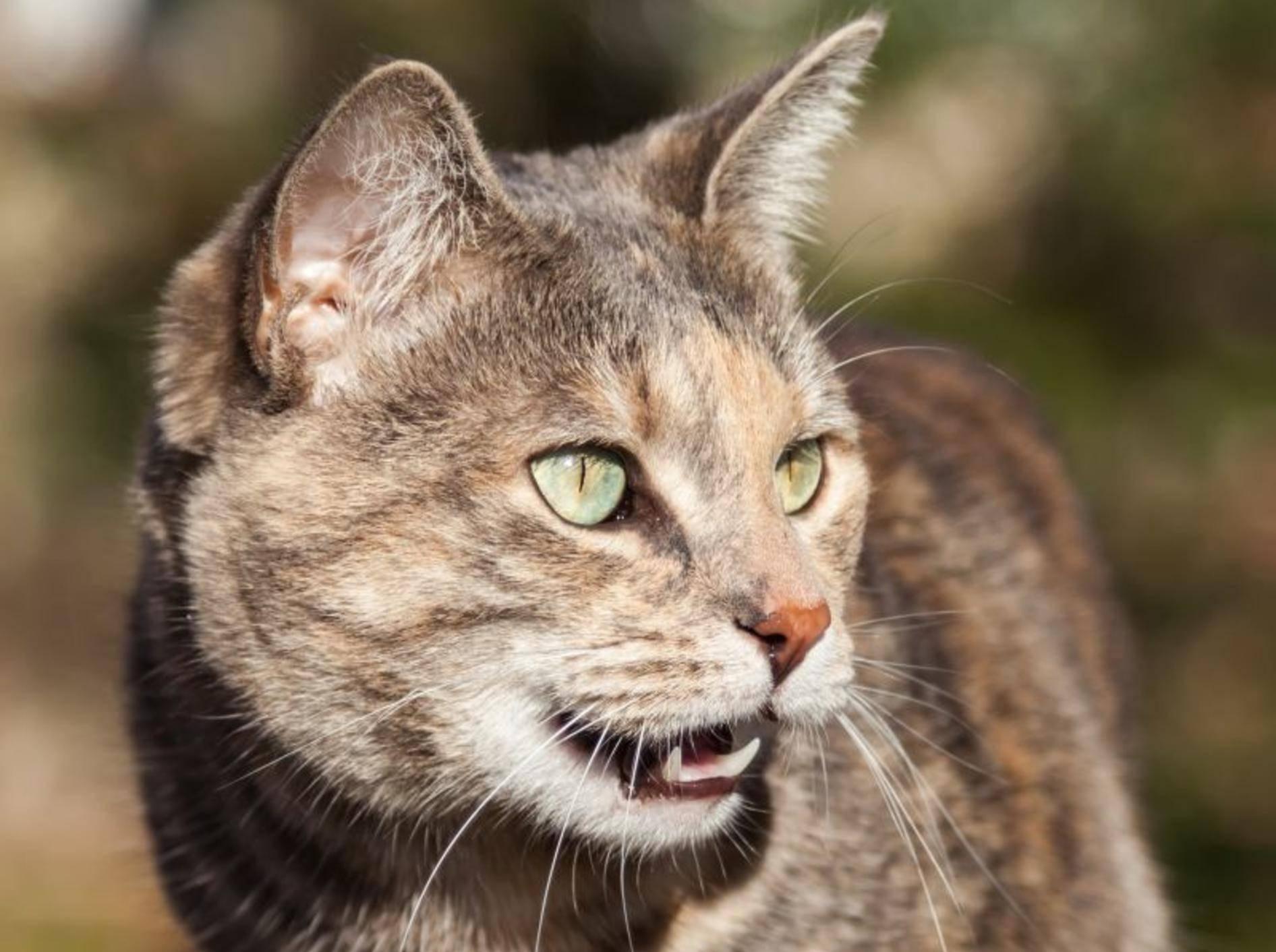 Hecheln ist für Katzen eher untypisches Verhalten – Bild: Shutterstock / SJ Allen