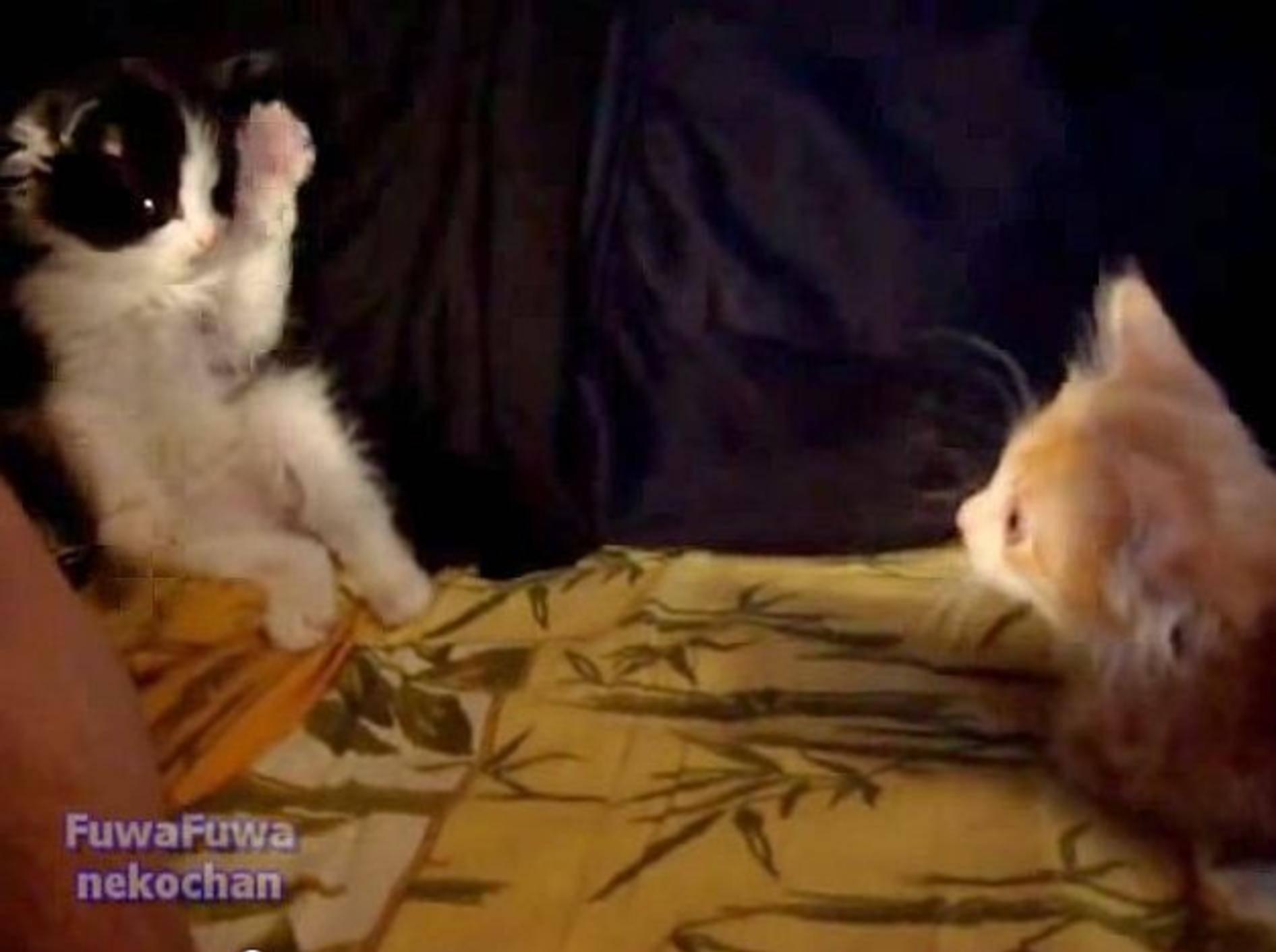 """Flauschiges Kätzchen: """"Komm, spiel mit!!!"""" – Bild: Youtube / fuwafuwanekochan"""
